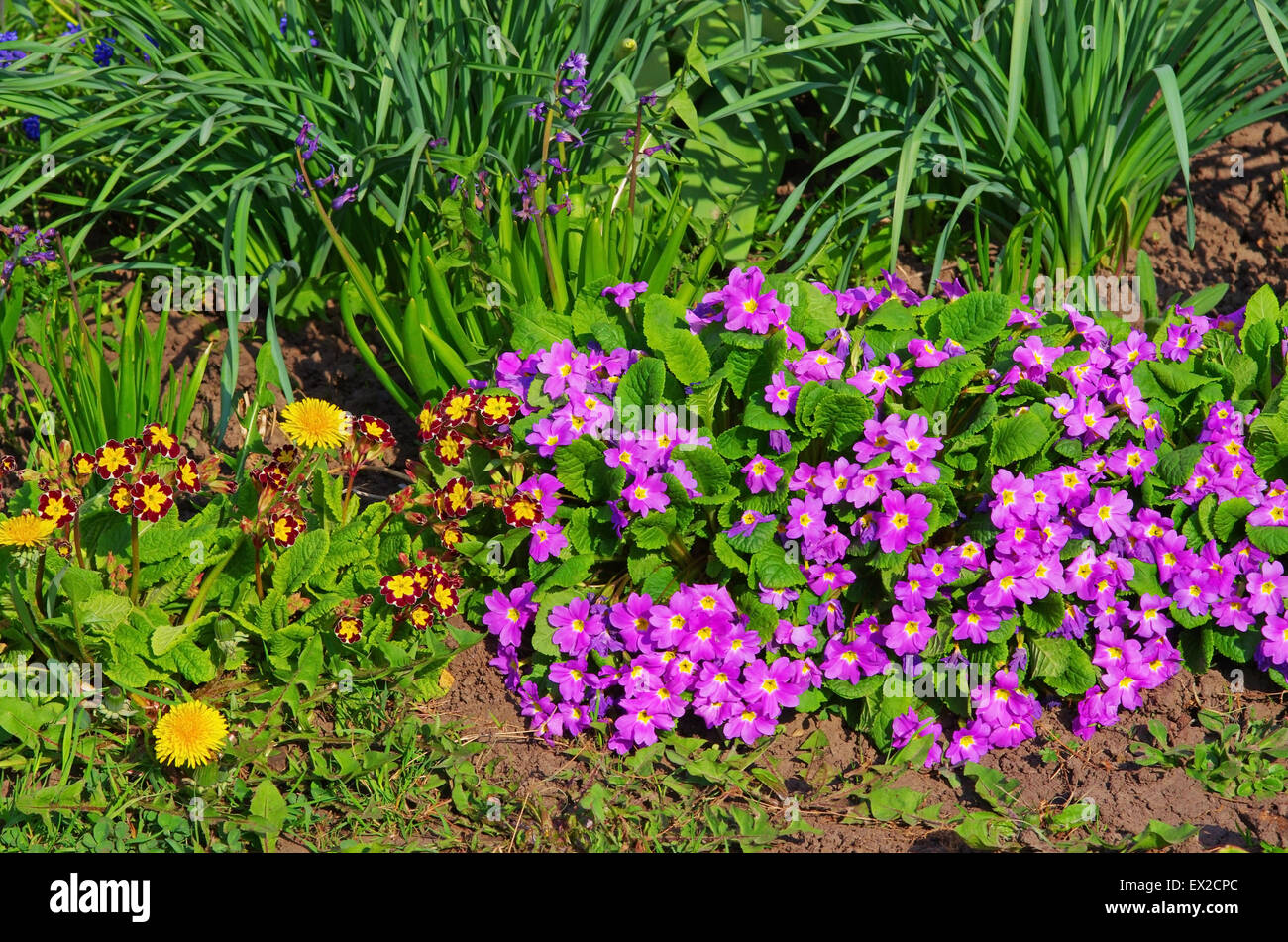 Close image of the lilla flowers in the garden - Stock Image