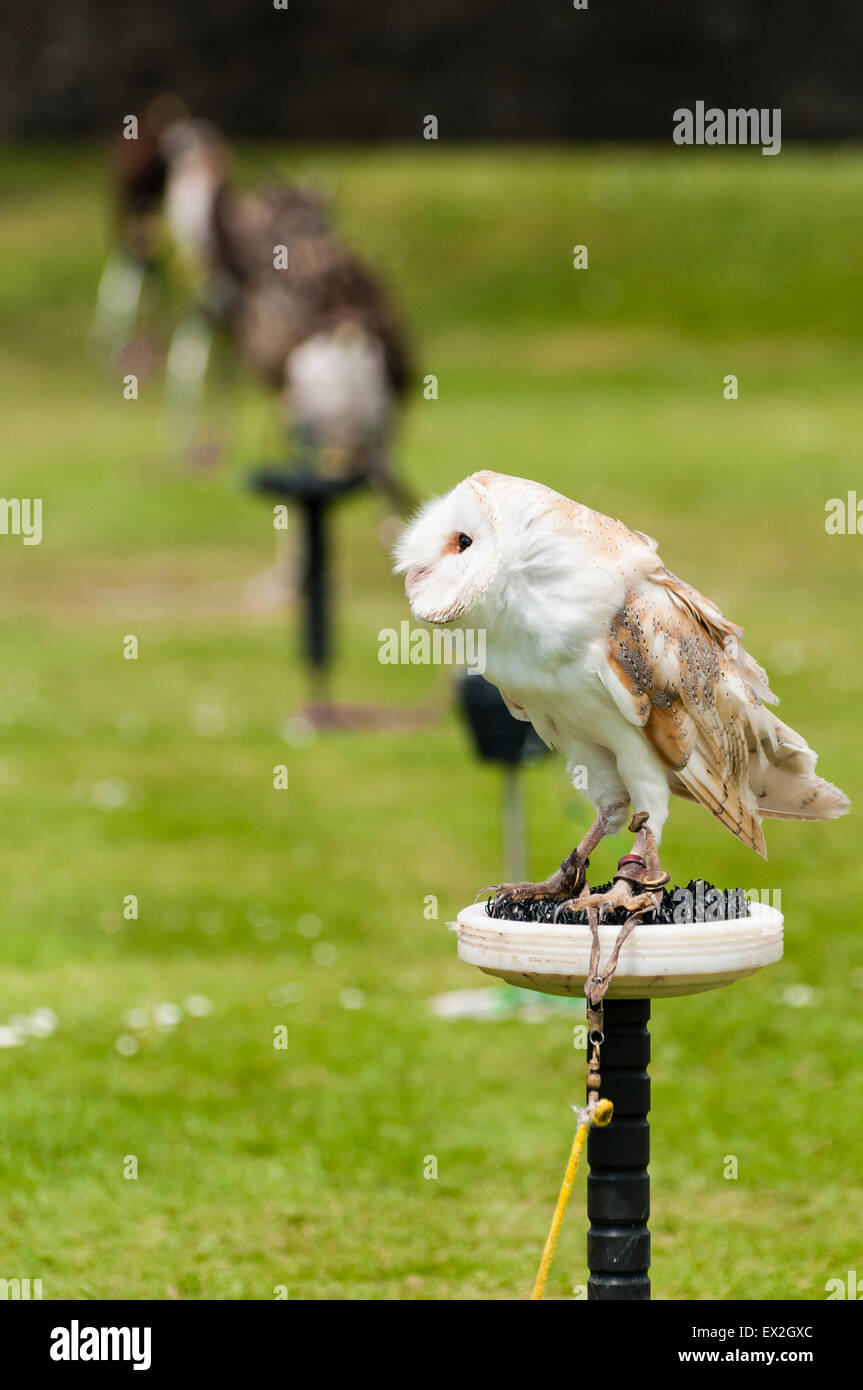 An Irish barn owl and other birds of prey on perches at a fair - Stock Image