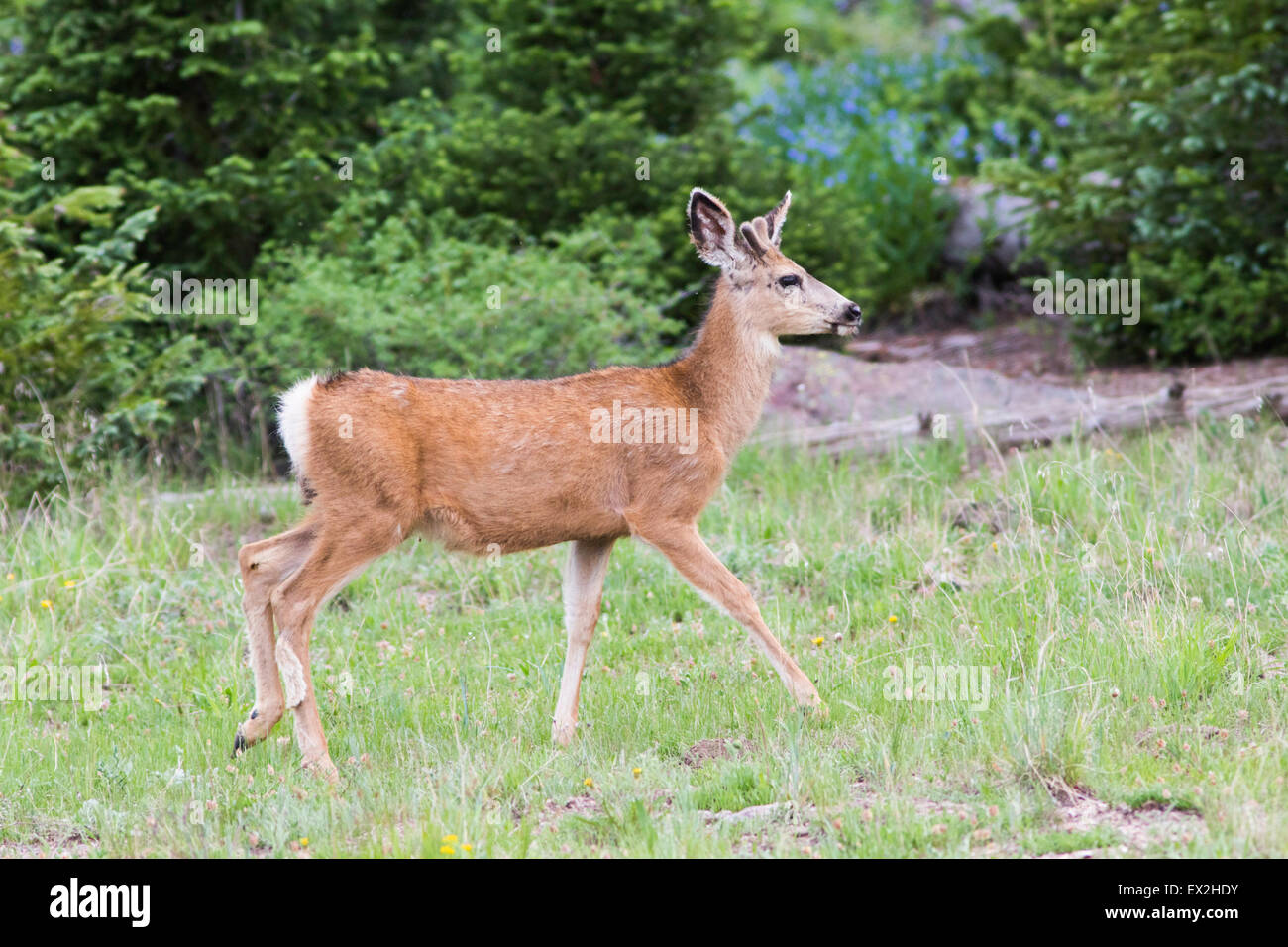 Mule Deer  Odocoileus hemionus Cedar Breaks National Monument, Iron County, Utah, United States 29 June     Young - Stock Image