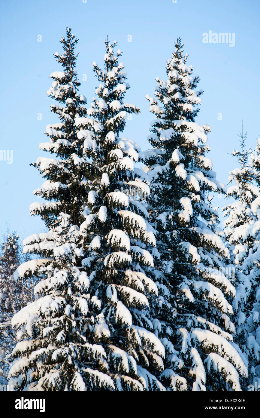 Fir trees covered with snow during wintertime - Stock Image