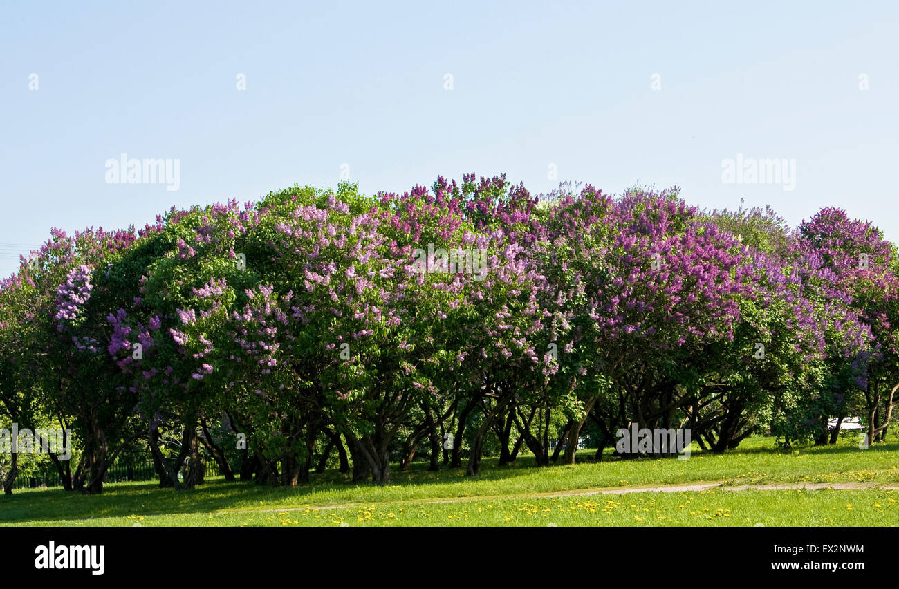 Lilac Garden In Blossom In Spring Big Trees With Purple Flowers