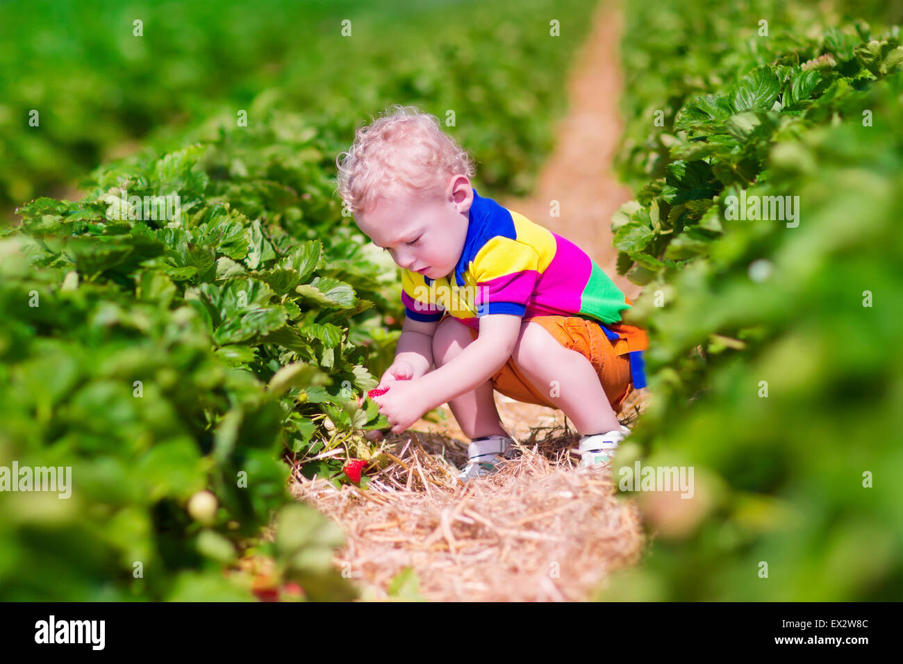 Child picking strawberries. Kids pick fresh fruit on organic strawberry farm. Children gardening and harvesting. - Stock Image