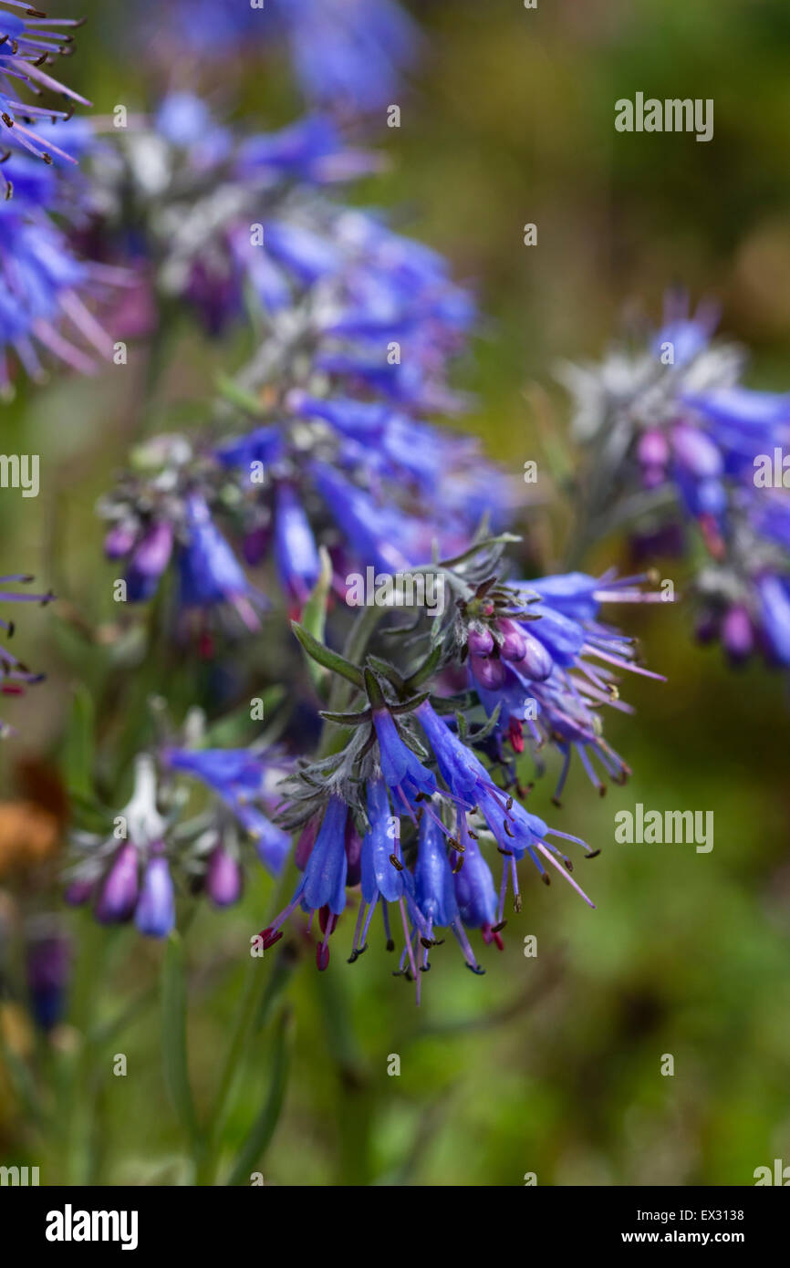 Blue Flowers Open From Pink Buds During The Midsummer Flowering Of