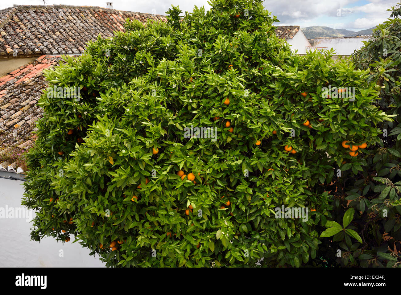 Ornamental bitter Seville orange and Mango tree on a street in Ronda Andalusia Spain - Stock Image
