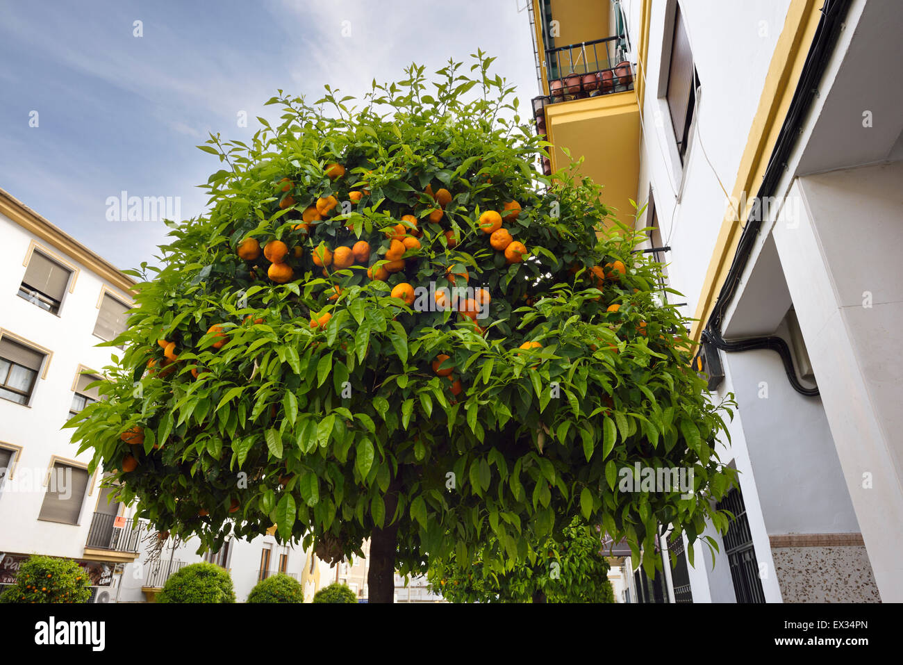Ornamental bitter Seville orange trees lining a street in Ronda Andalusia Spain - Stock Image