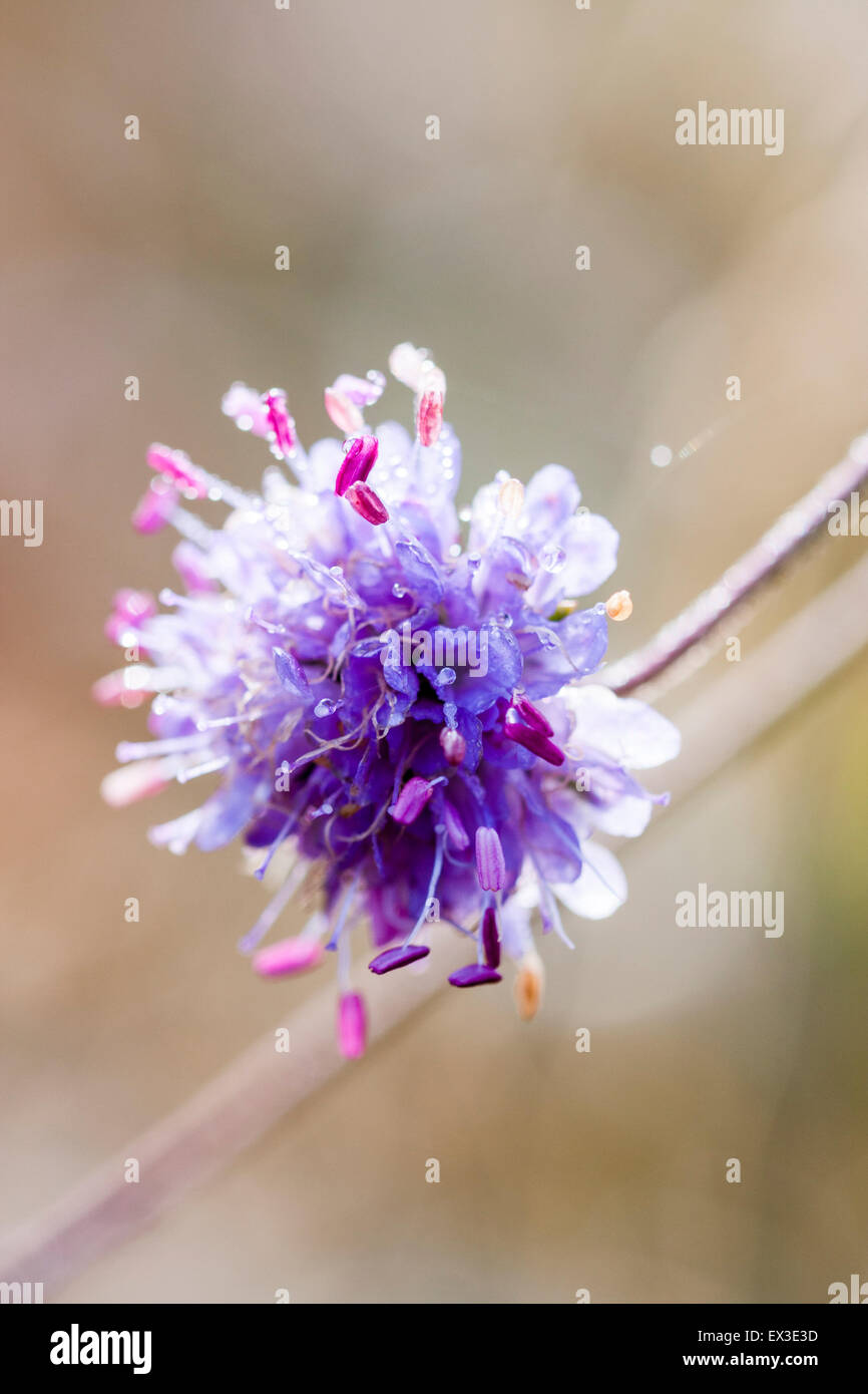 Mauve flower head with dew on, Devil's bit Scabious, Succisa pratensis, isolated with shallow focus - Stock Image