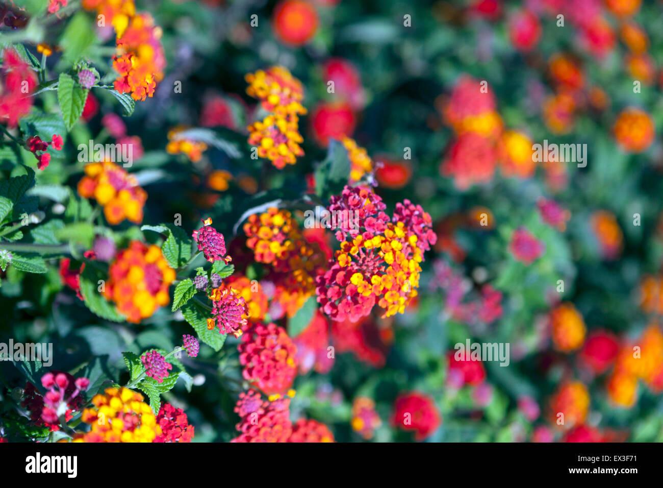 Lantana flowers (Lantana camara), Crete, Greece, Europe - Stock Image