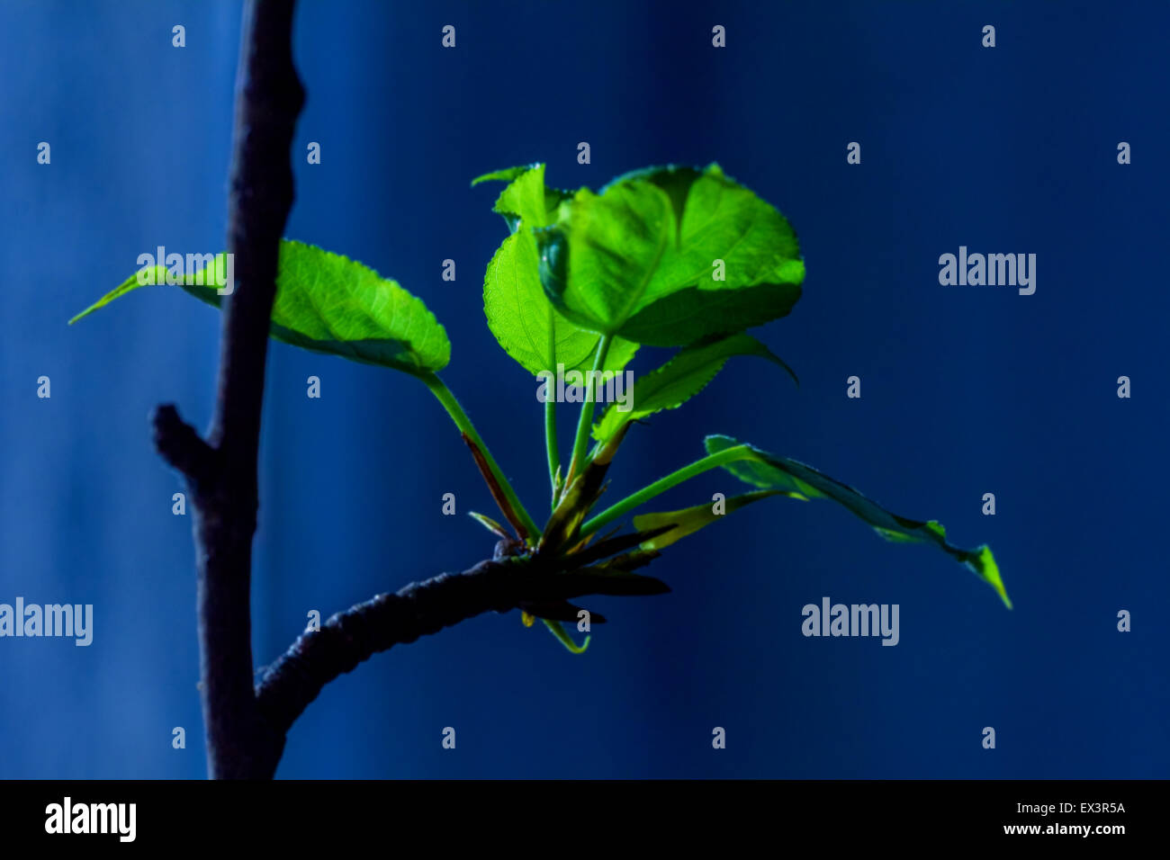 Young green leaves on branch in room - Stock Image