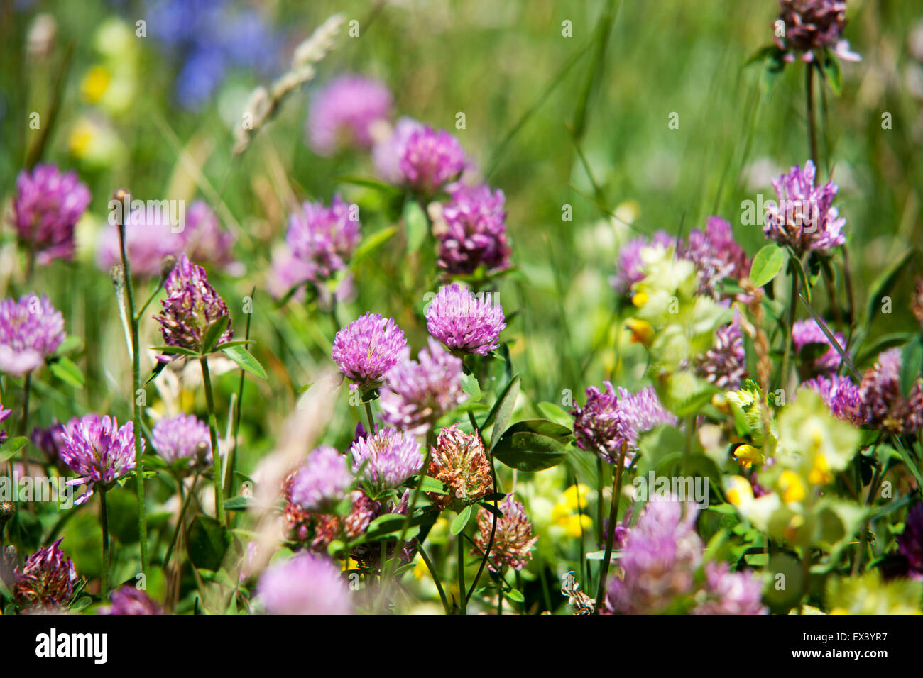 Natural Common Wild Purple Clover Flowers Trifoleum Pratense Stock