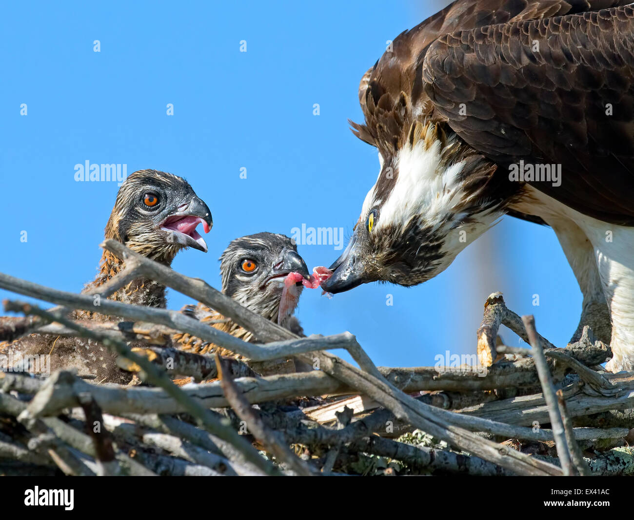 Osprey Feeding her young Chicks - Stock Image