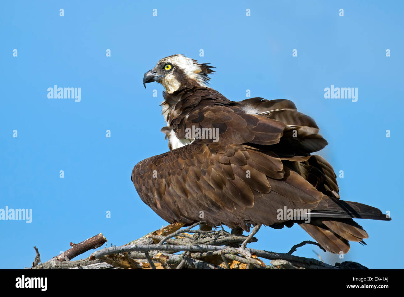 Osprey in Nest Wings Spread Protecting Chicks - Stock Image