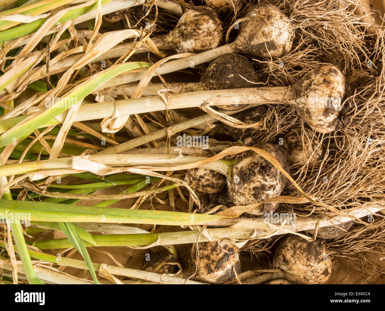 freshly dug garlic Stock Photo