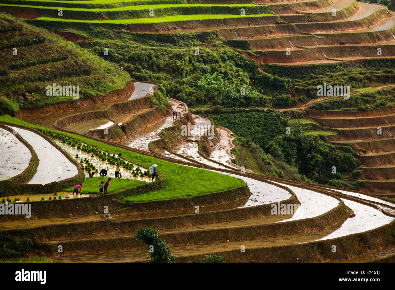 Farmers planting rice in terraces paddies between Sapa and Lao Cai in northern Vietnam during rainy season. - Stock Image