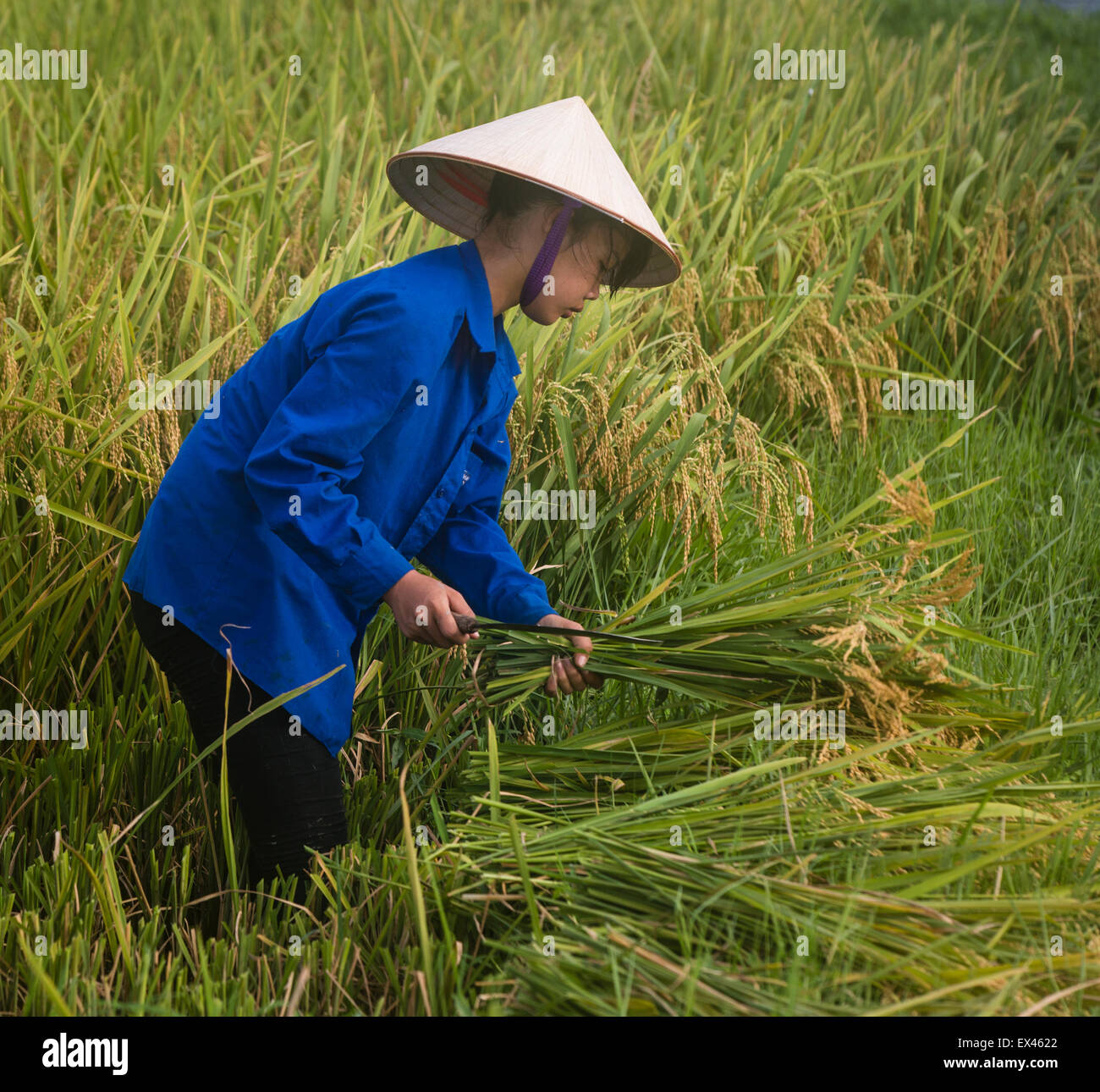 Young woman wearing traditional conical hat harvests rice plants in a paddy near Viet Hung, Que Vo, Vietnam - Stock Image