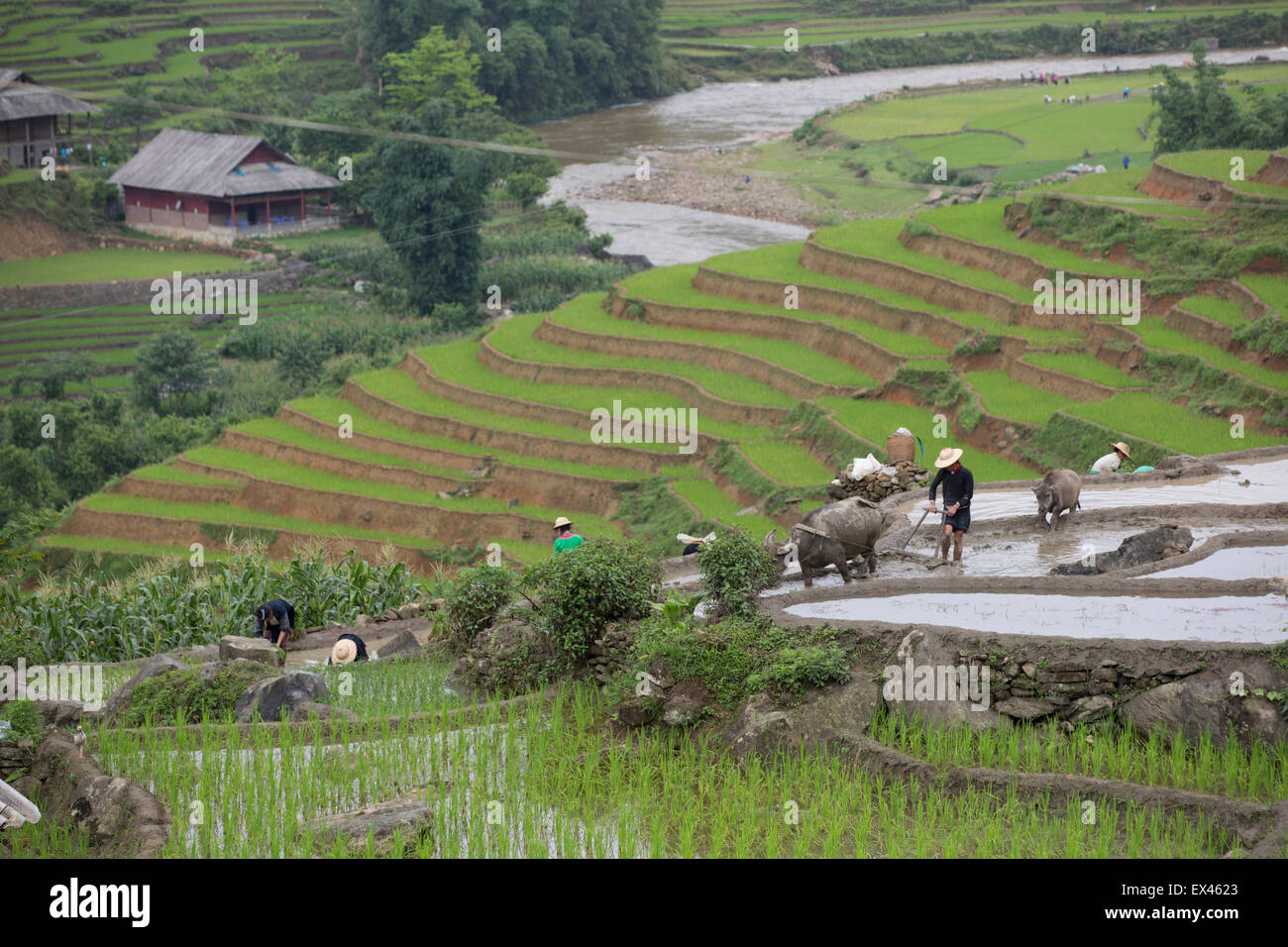Farmers plant rice during the rainy season with a water buffalo drawn plow near Sapa, Vietnam - Stock Image
