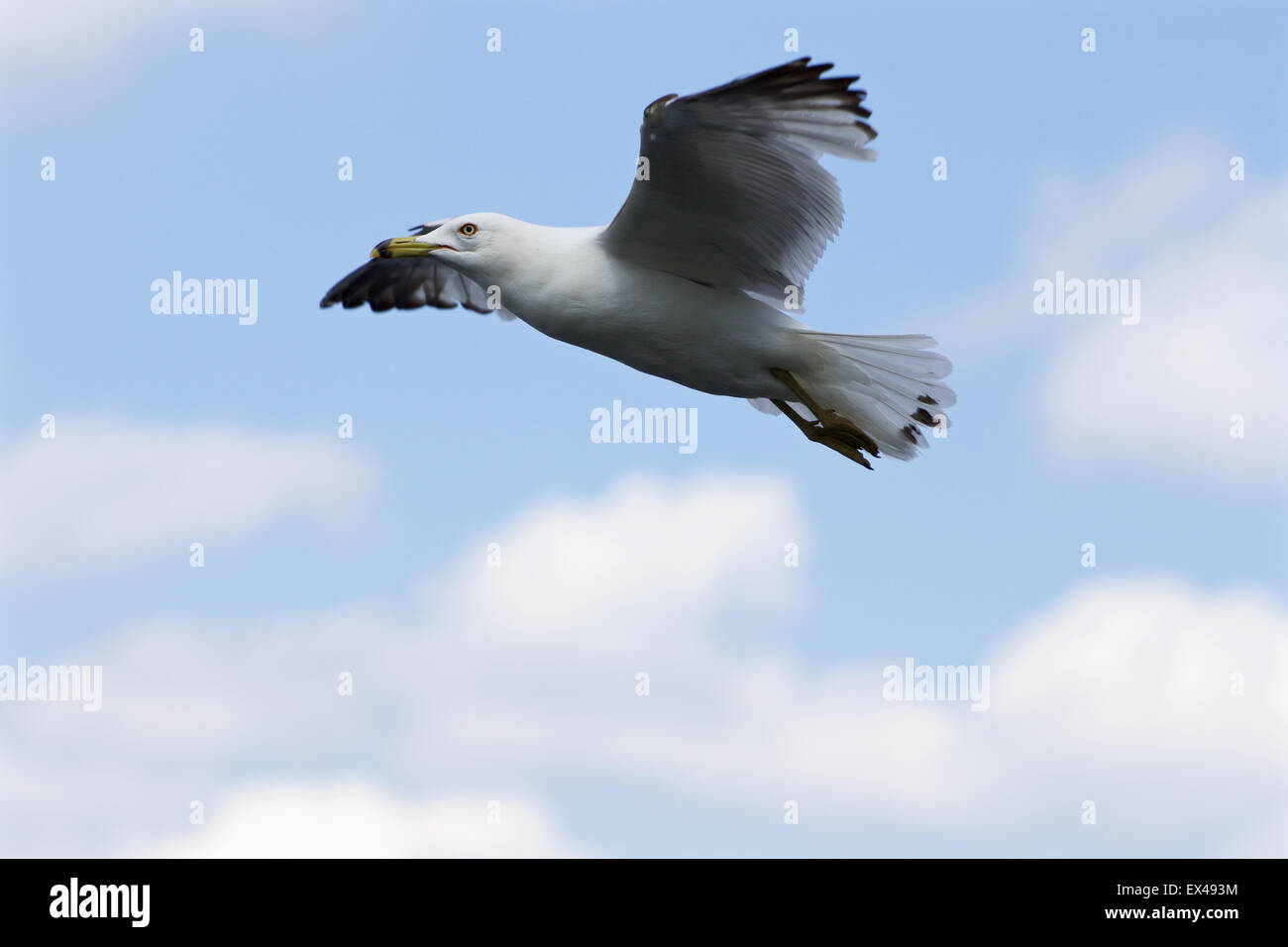 Beautiful flight of the ring-billed gull with the blue skyes on the background - Stock Image