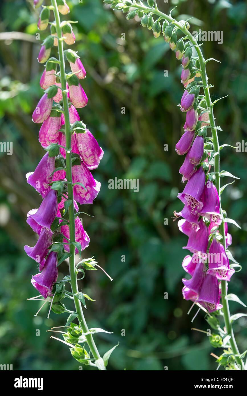 Purply Pink Foxglove Flower Spike In Bloom In A Cheshire Garden