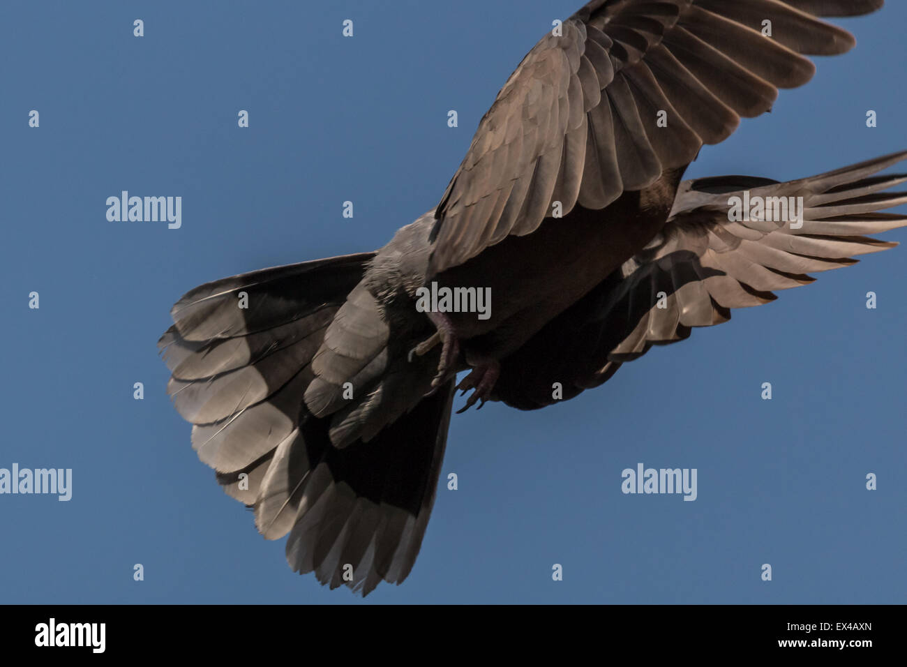 A pigeon flying high up in the air with its wings spread - Stock Image