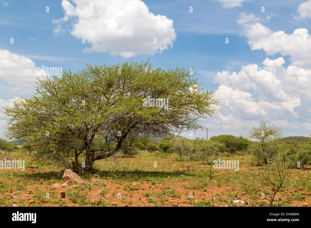 Shrubs which are the typical vegetation common in the dry savannah grasslands of Botswana - Stock Image