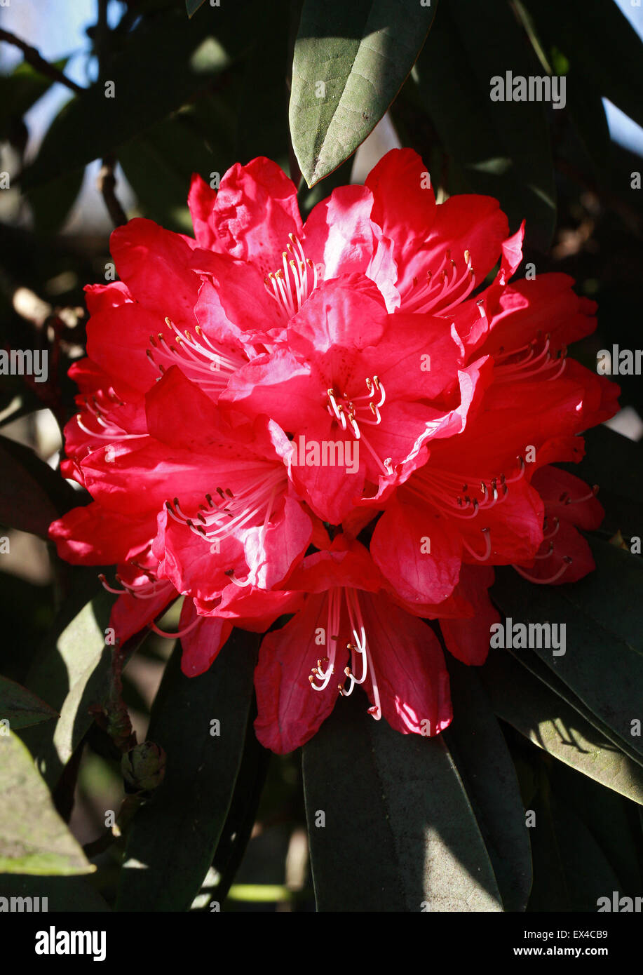 Tree Rhododendron, Rhododendron arboreum, Ericaceae. Temperate Asia. - Stock Image