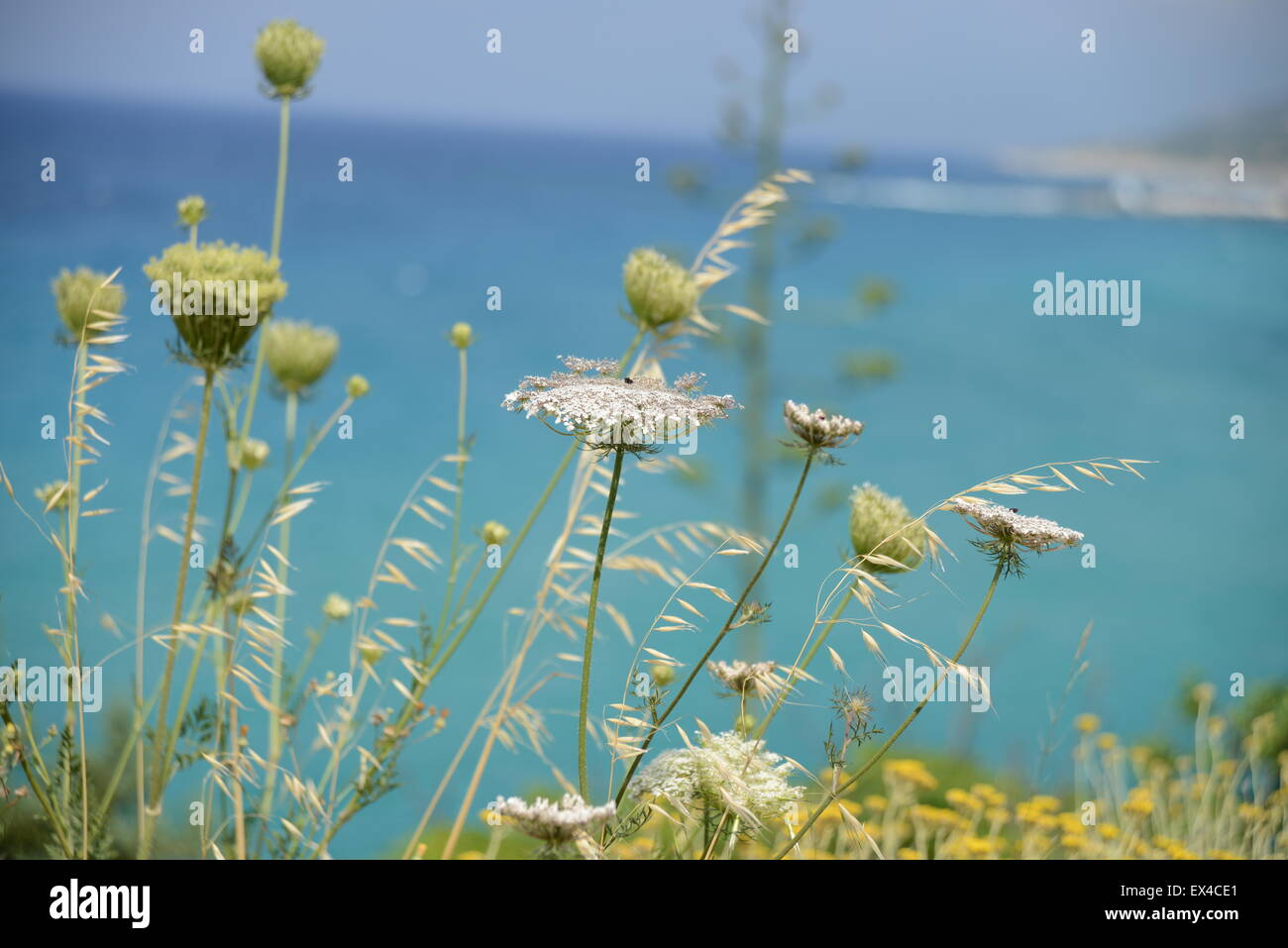 Queens Anne's lace flowers grow by the Aegean sea - Stock Image