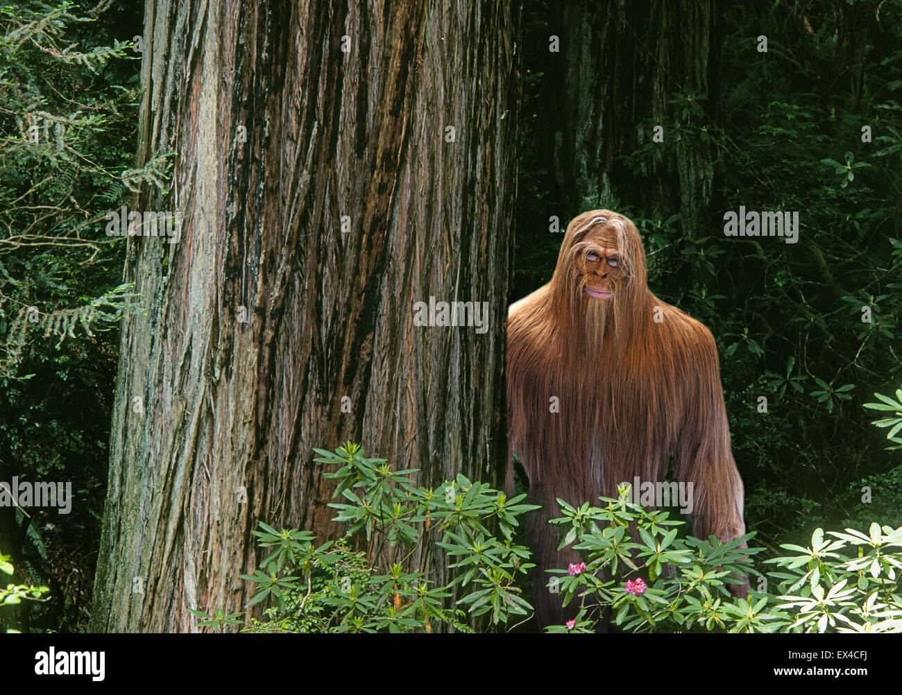 A Bigfoot or Sasquatch hiding in a dense Pacific Northwest rain forest. - Stock Image