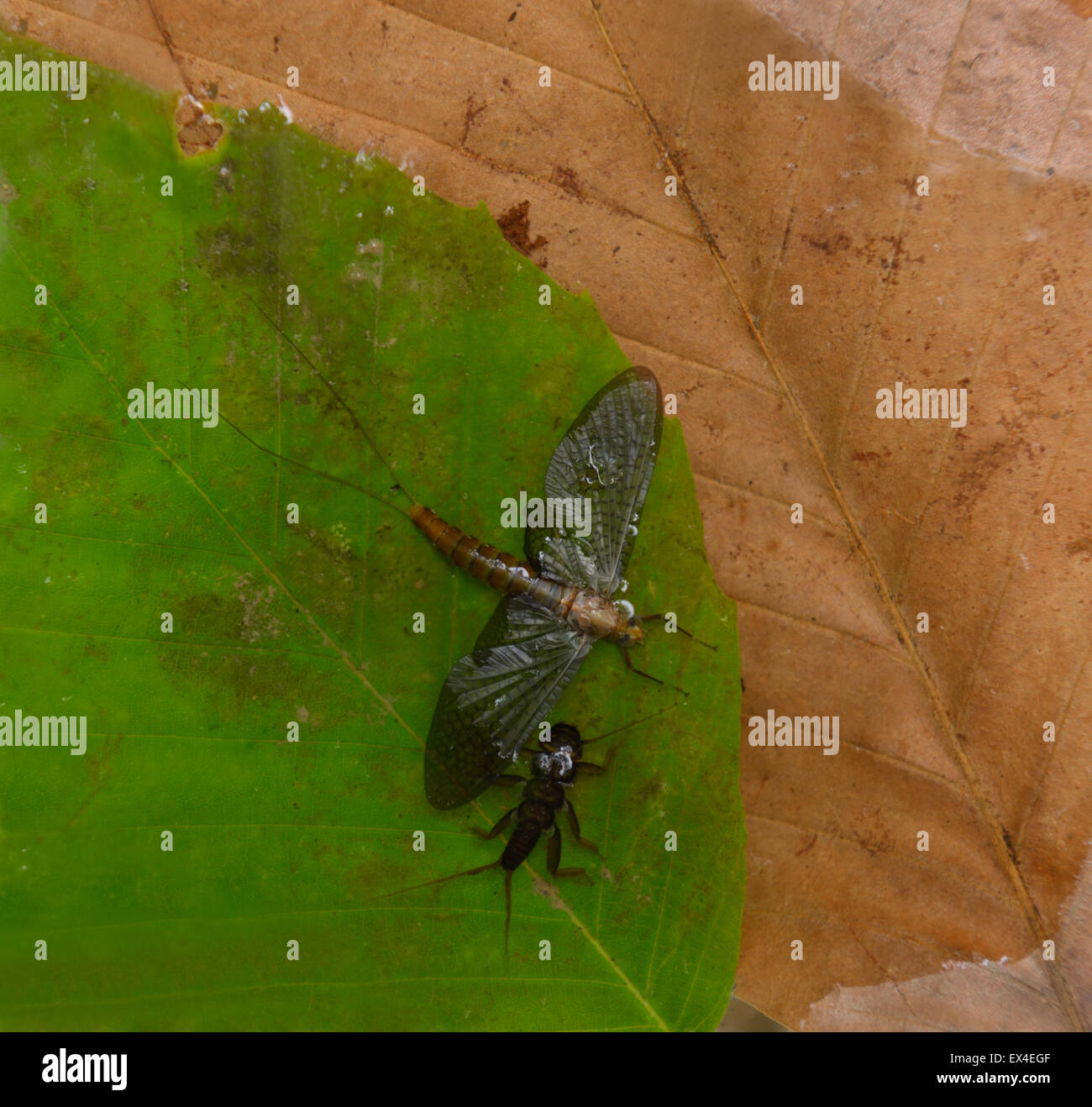 Stone fly (Order Plecoptera) nymph and adult fly - Stock Image