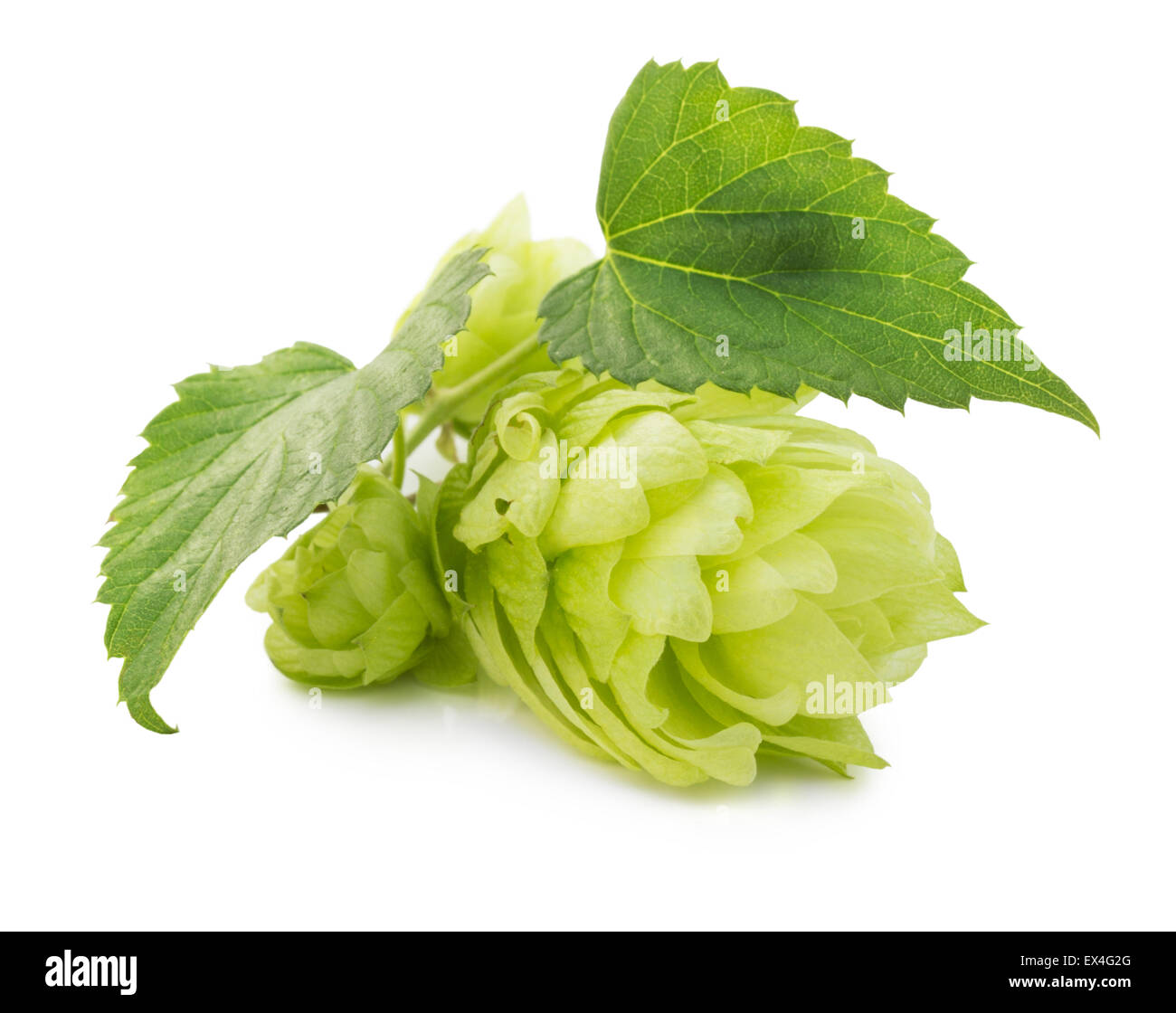 green hops isolated on the white background. - Stock Image