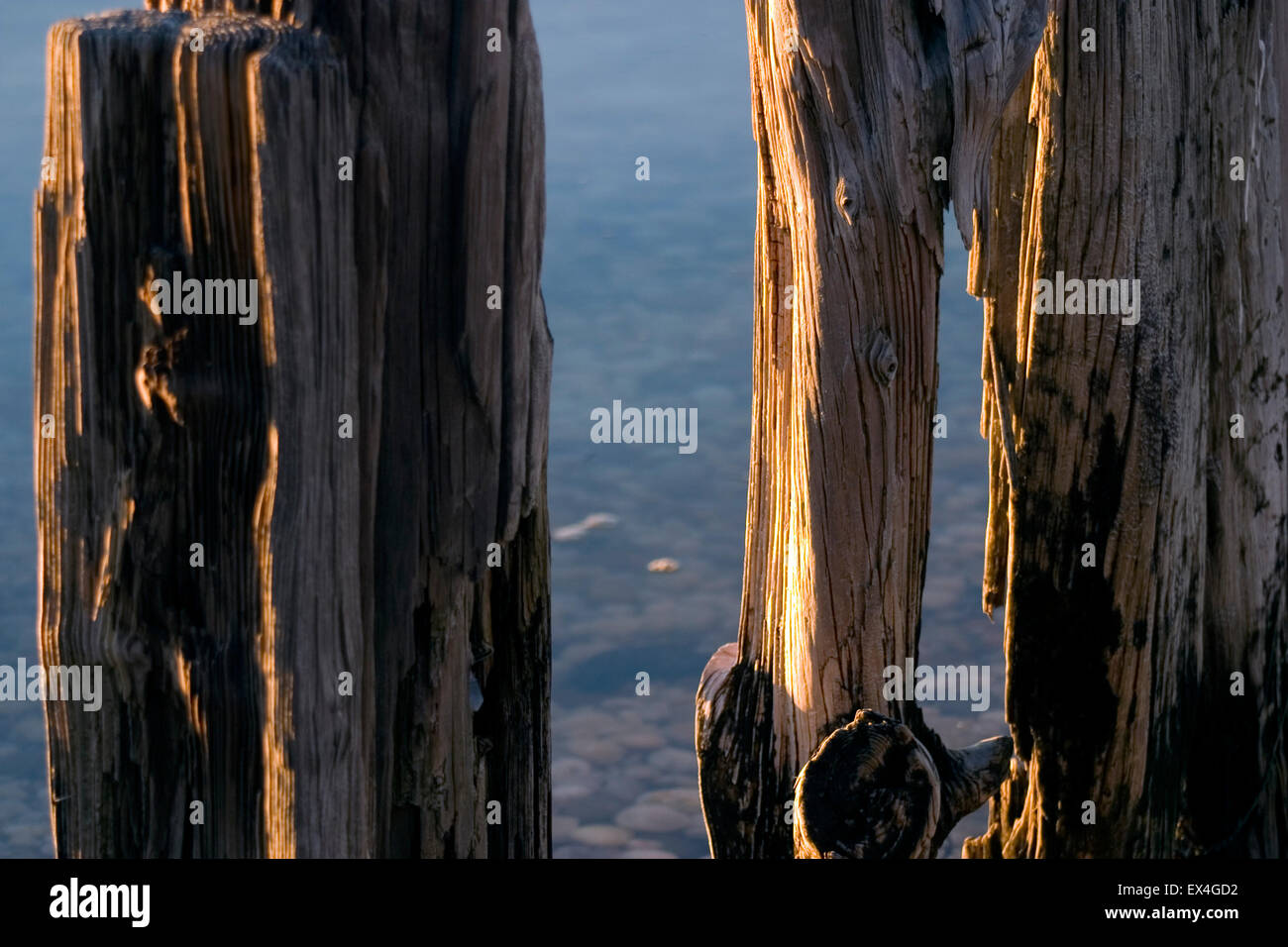 Old water-worn wooden pilings in calm dawn waters in Peconic Bay, near Sag Harbor, New York offer reflections of - Stock Image