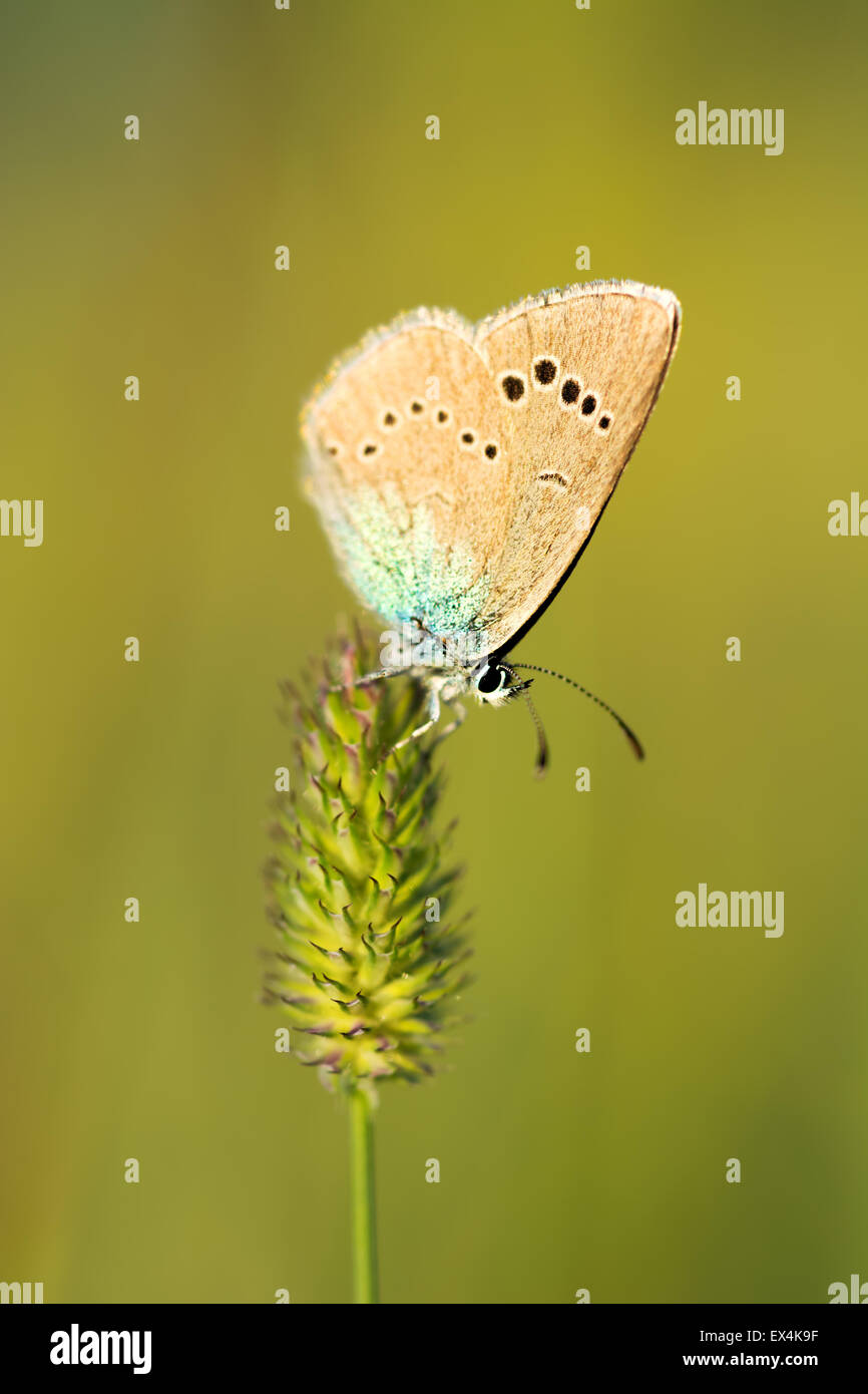 Butterfly on a stalk of grass blurred background close up. - Stock Image