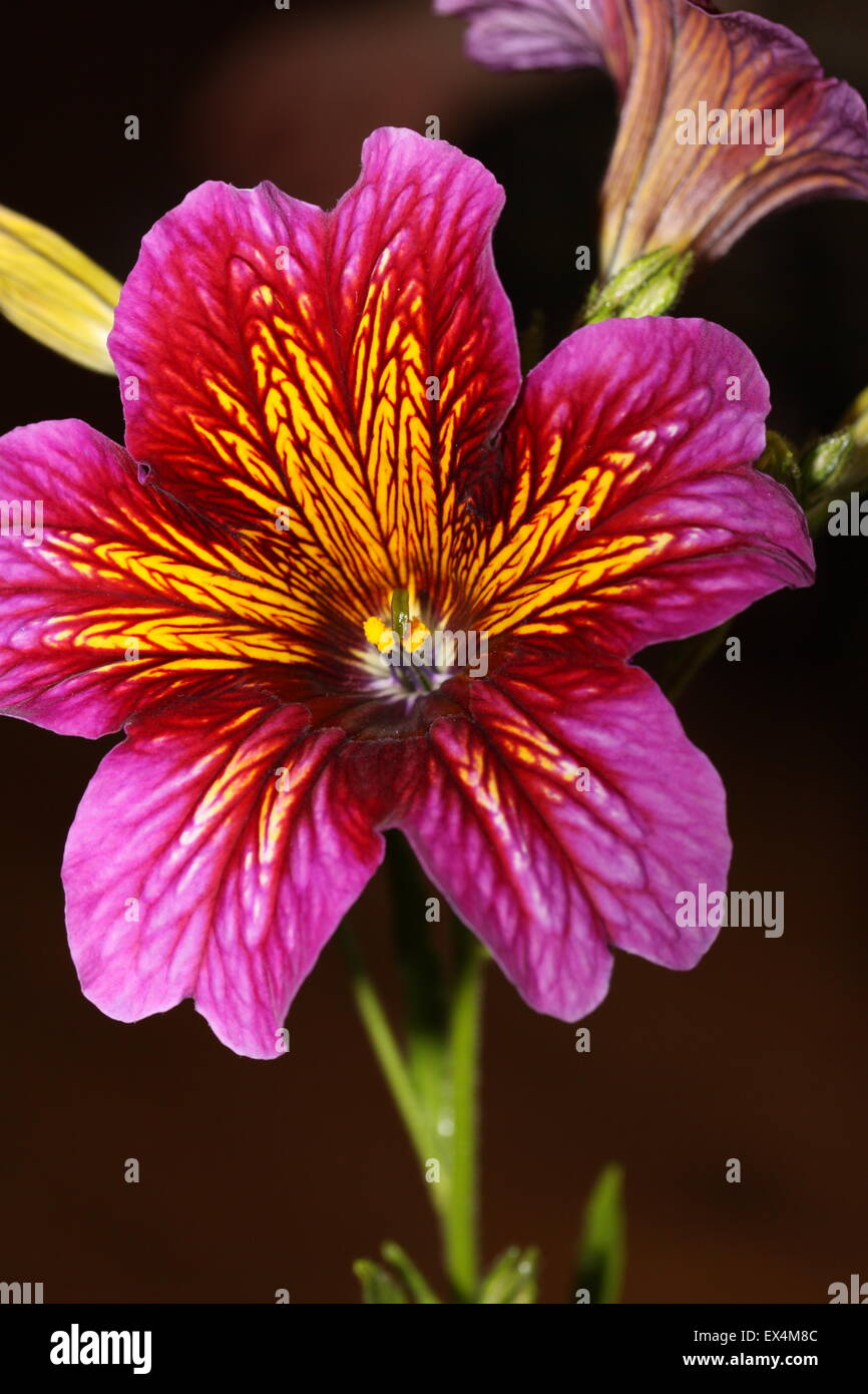 Deep Pink and Yellow Salpiglossis (also known as the painted tongue plant) Sinuata - Stock Image