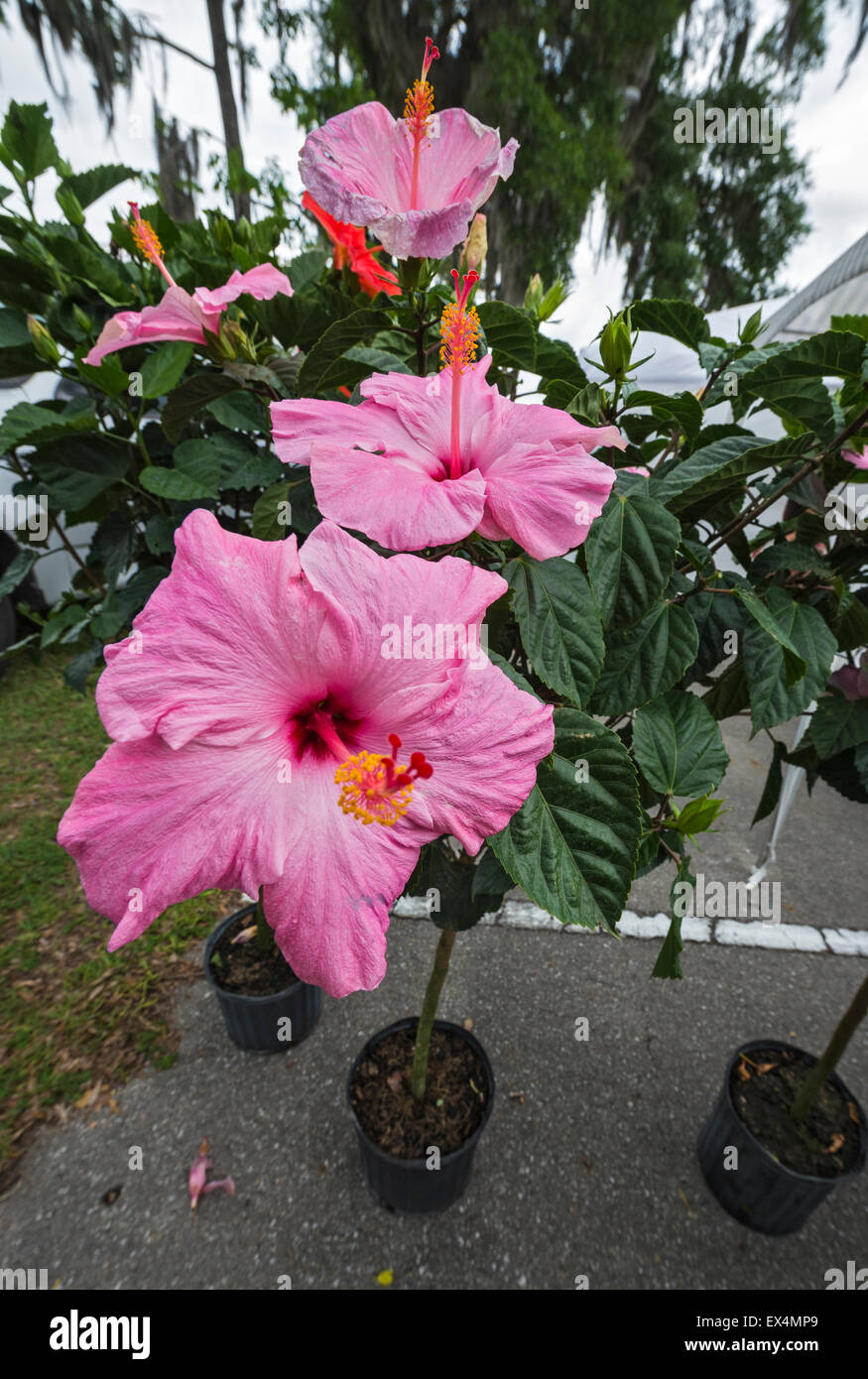Hibiscus plants stock photos hibiscus plants stock images alamy flowering hibiscus plants for sale at pioneer days festival in high springs florida izmirmasajfo