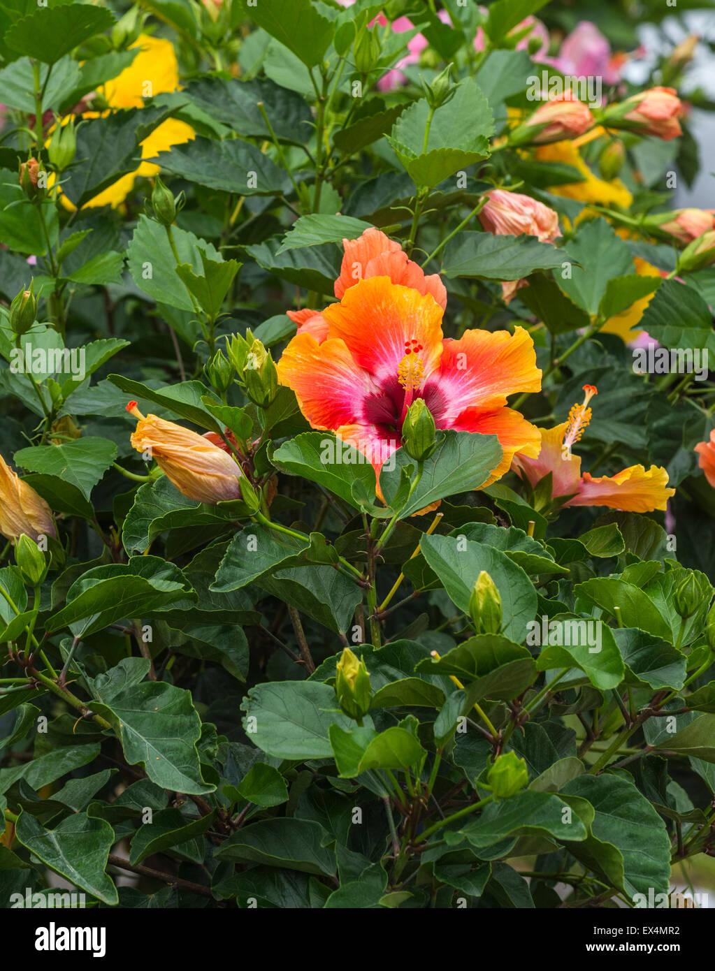 Flowering hibiscus plants for sale at pioneer days festival in high flowering hibiscus plants for sale at pioneer days festival in high springs florida izmirmasajfo