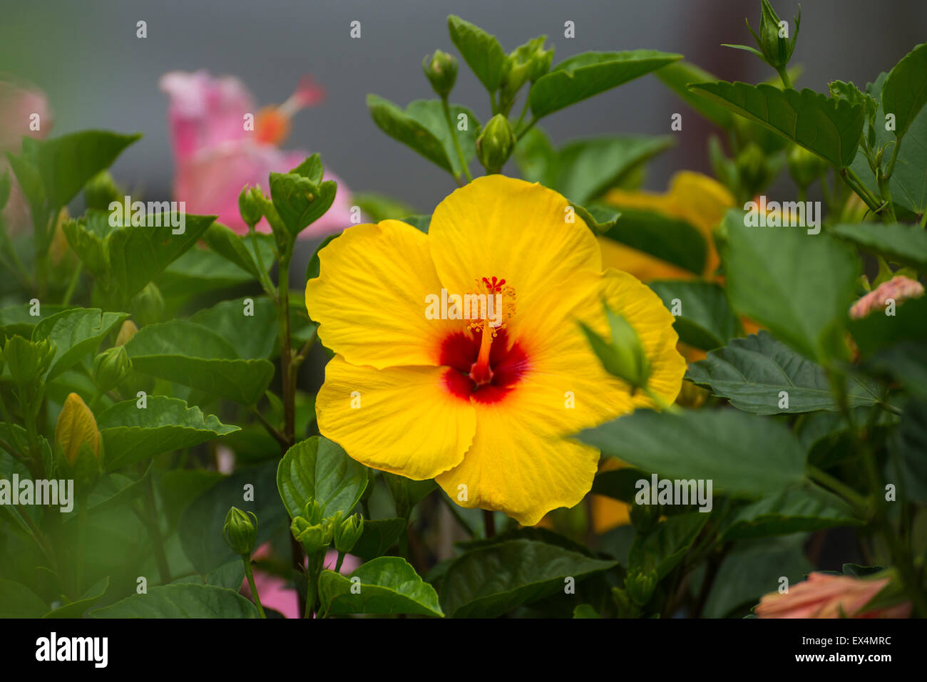 Flowering Hibiscus Plants For Sale At Pioneer Days Festival In High