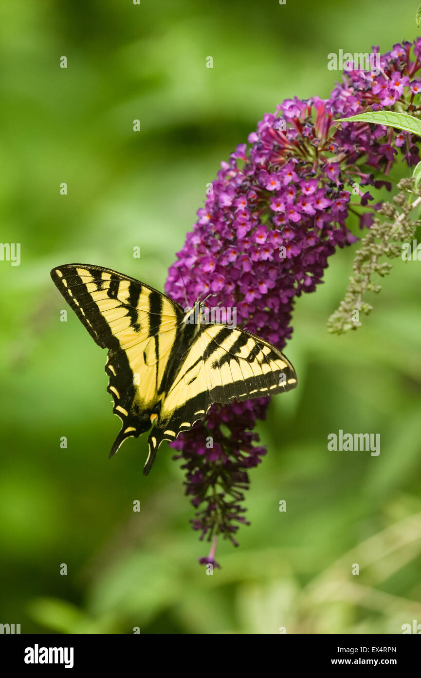 Western Tiger Swallowtail (Papilio rutulus) butterfly on Black Knight Butterfly Bush (Buddleja davidii) in Issaquah, - Stock Image