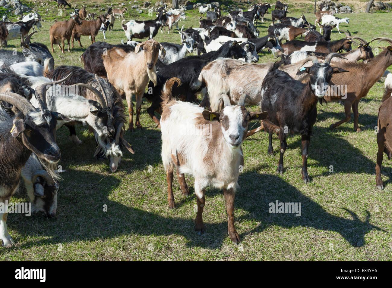 Herd of goats in pasture, Curel, Provence-Alpes-Côte d'Azur, France - Stock Image
