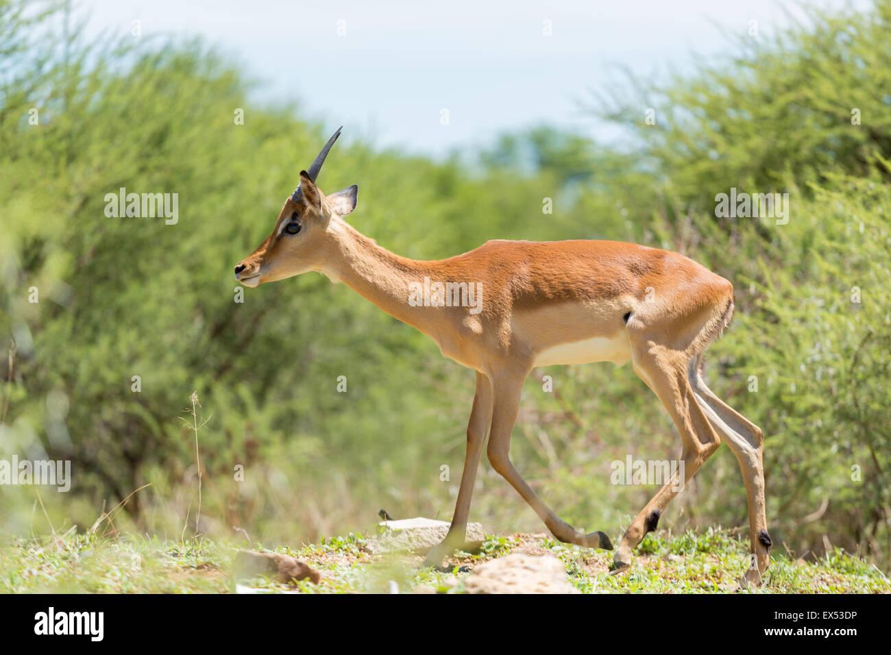 Impala at the Mokolodi Nature Reserve in Botswana - Stock Image
