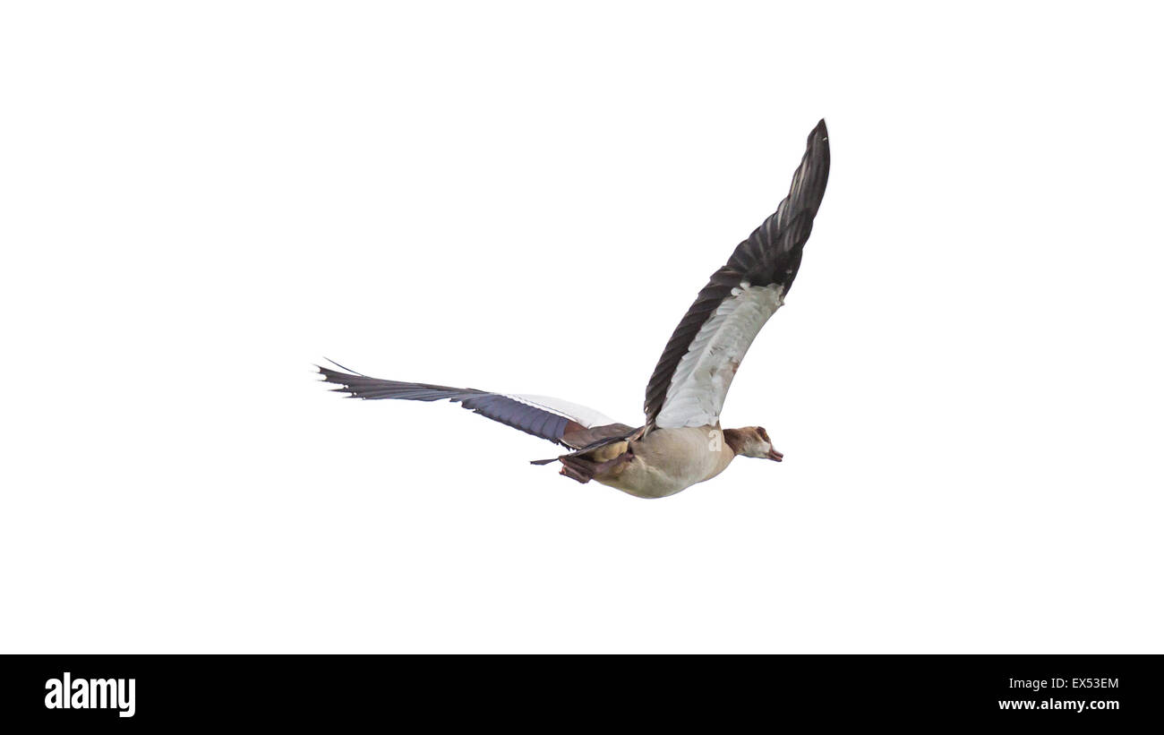 Egyptian Goose (Alopochen aegyptiacus) with black and white wings in mid flight - Stock Image