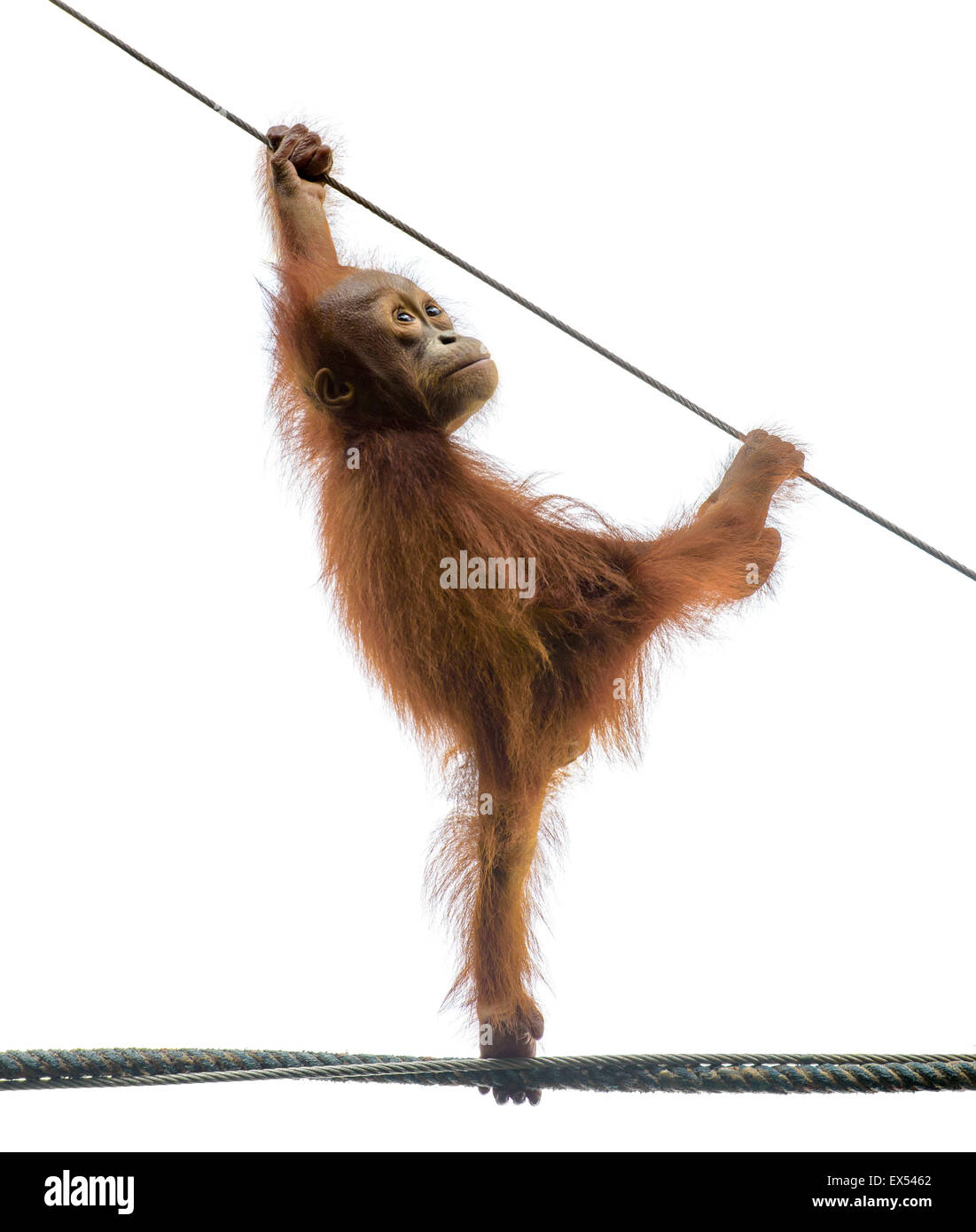 Baby orangutan standing on a rope in a funny pose, isolated on white - Stock Image