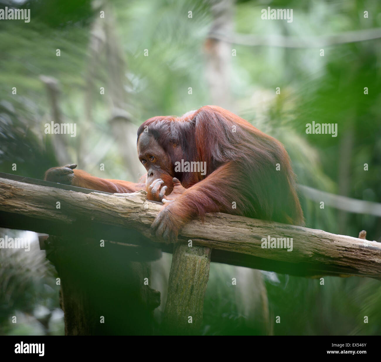 Adult orangutan sitting deep in thoughts, with jungle as a background, shallow depth of field - Stock Image