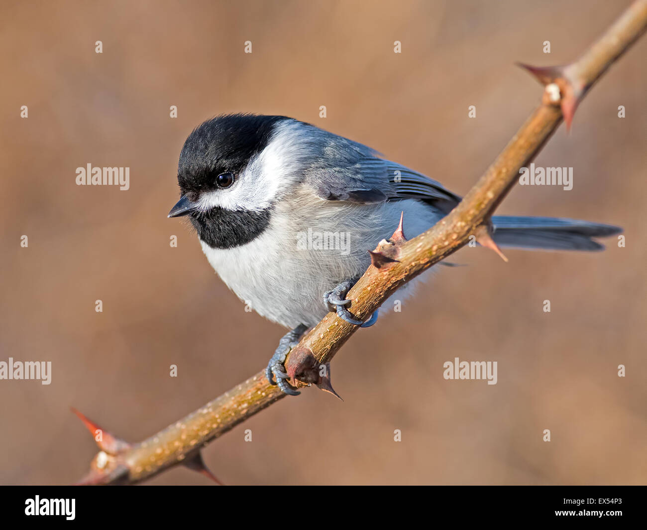 Carolina Chickadee on Branch - Stock Image