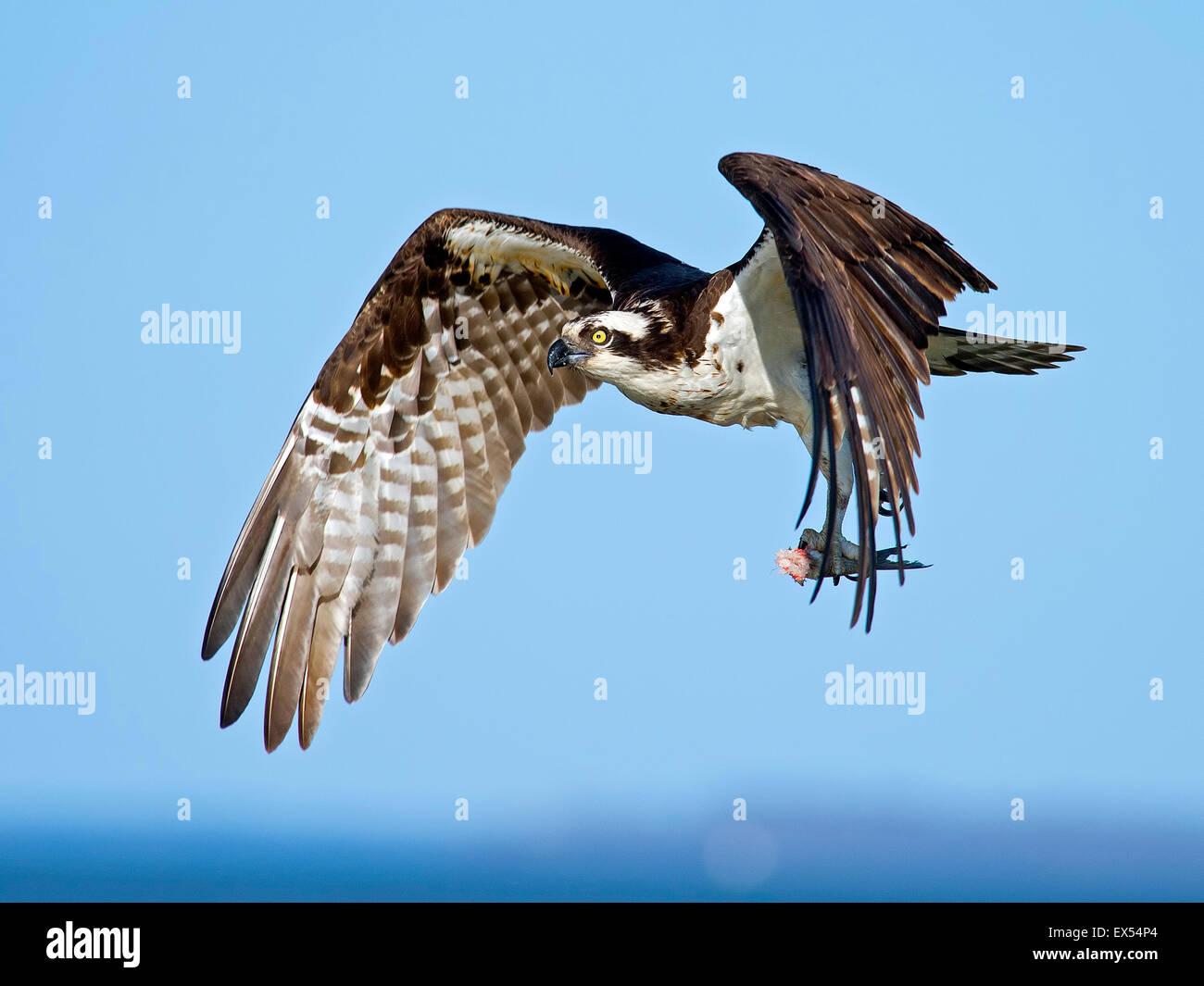 Osprey in Flight with Headless Fish Stock Photo