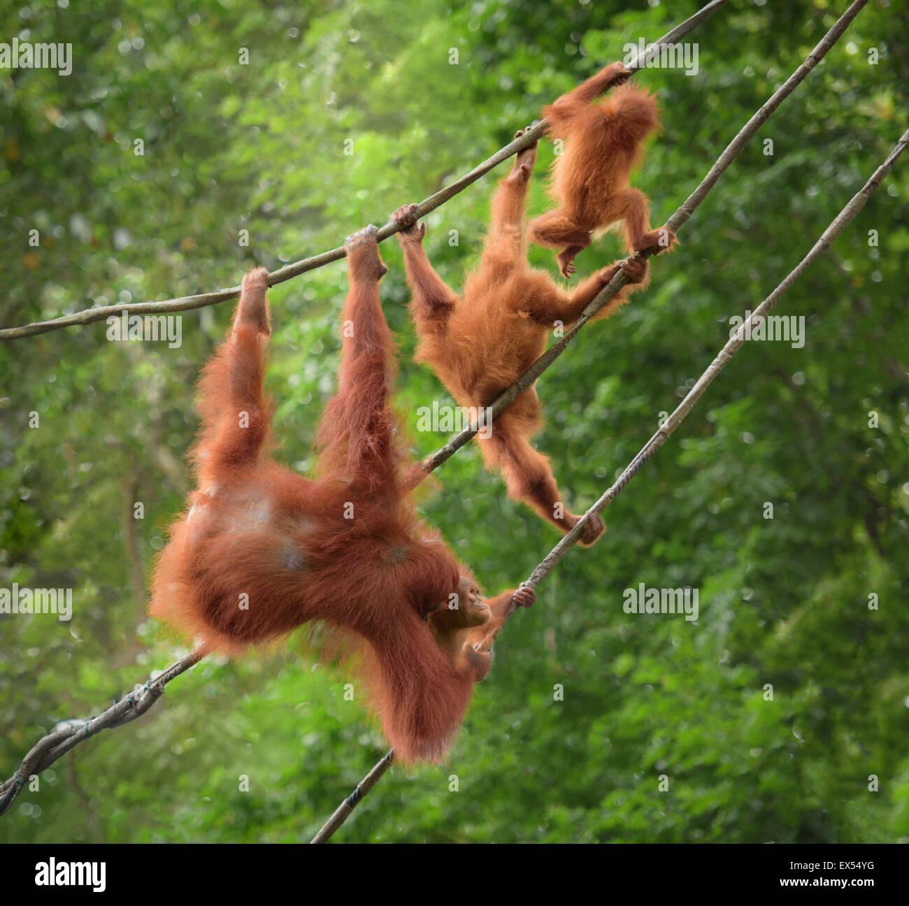 Orangutan family in funny poses walking on liana in a jungle - Stock Image