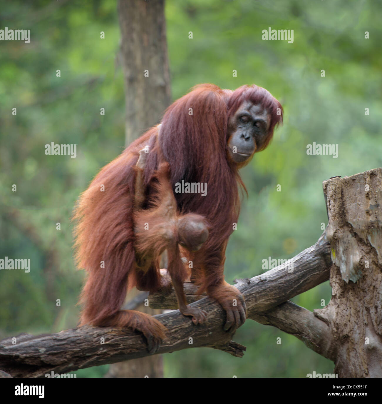 Little orangutan hugging its mom, with jungle as a background - Stock Image
