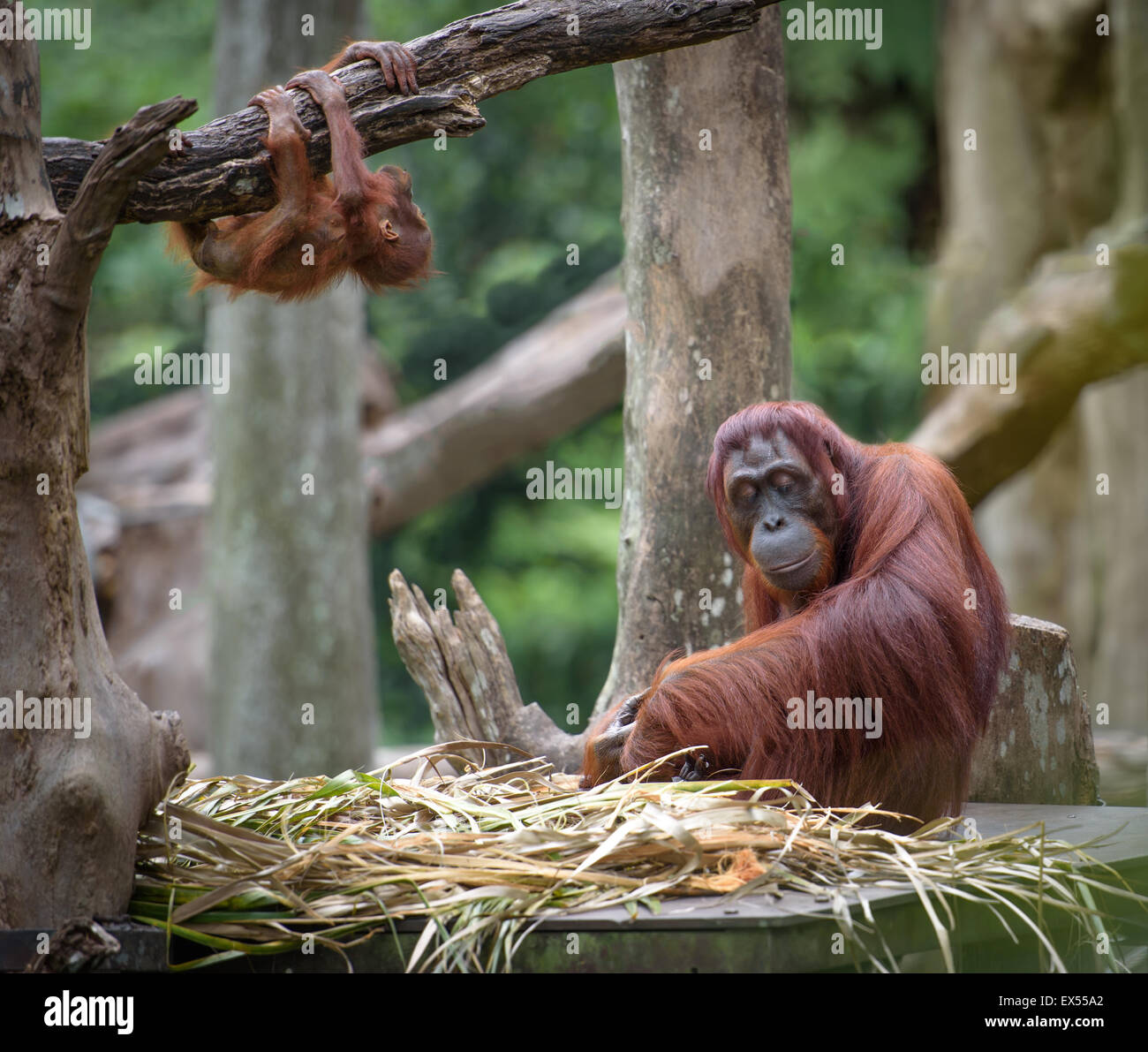 Tired mother orangutan sleeping while its baby playing around - Stock Image