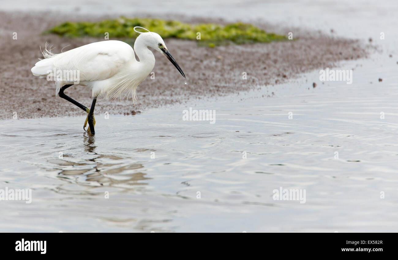 Little Egret Egretta garzetta fishing - Stock Image
