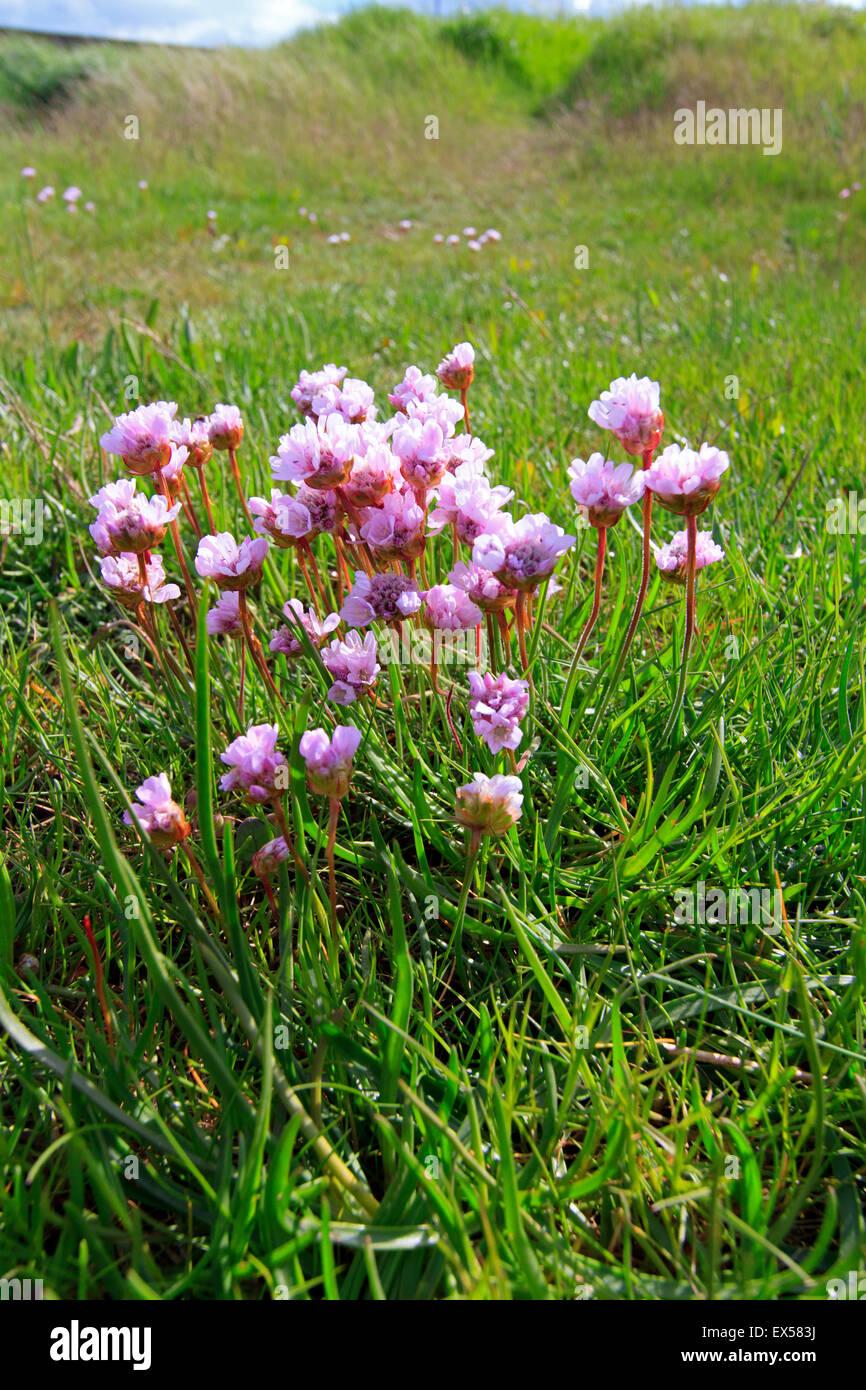 Sea thrift sea pinks armeria maritima on lincolnshire salt marsh sea thrift sea pinks armeria maritima on lincolnshire salt marsh mightylinksfo