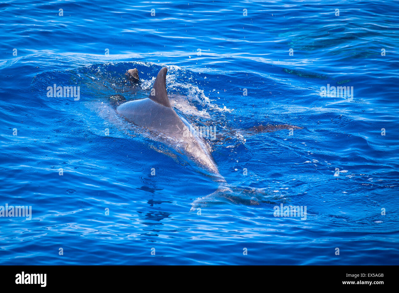 ESP, Spain, the Canary Islands, island of La Palma, boat-trip at the west coast, bottlenose dolphin.  ESP, Spanien, - Stock Image