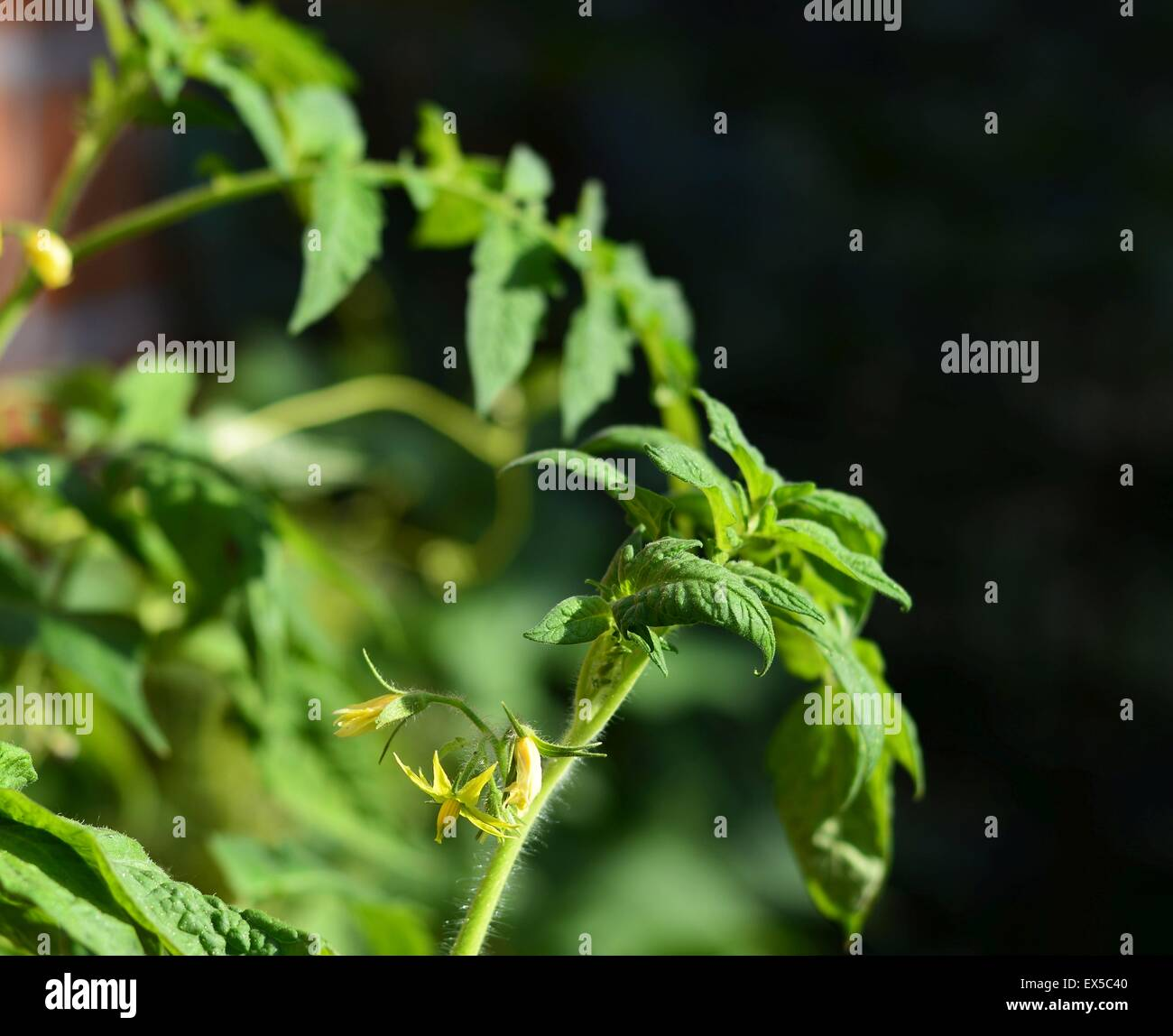Stems of tomatoes - Stock Image