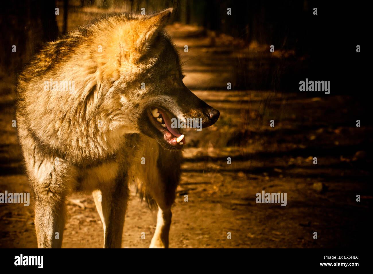 Eurasian wolf in captivity - Stock Image